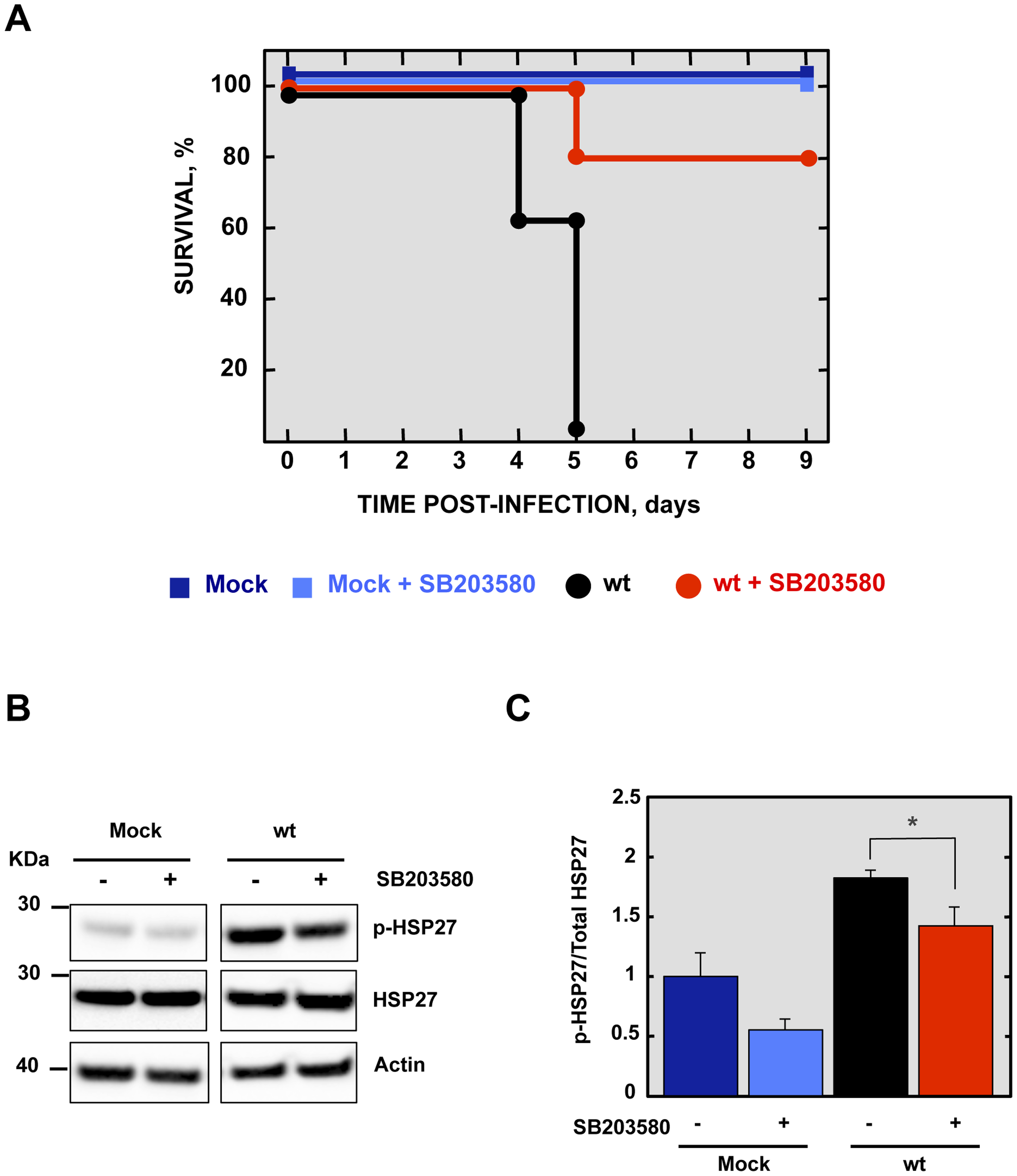 Effect of p38 MAPK inhibitor in rSARS-CoV-MA15-infected mice.