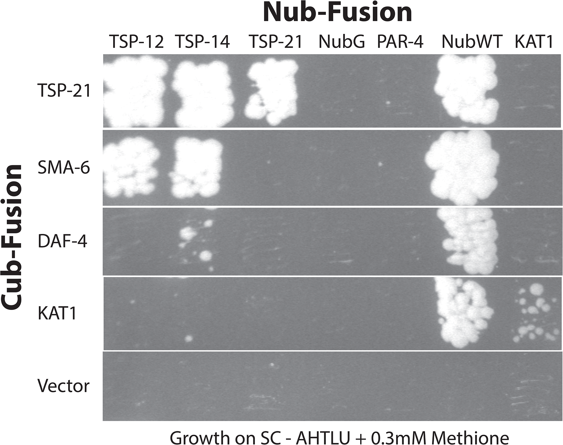 Interactions among TSP-12, TSP-14, TSP-21 and the receptors SMA-6 and DAF-4.