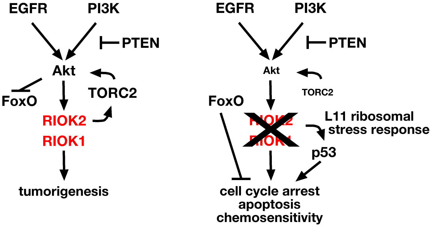RIOK1 and RIOK2 are required for EGFR- and PI3K-mediated tumorigenesis.