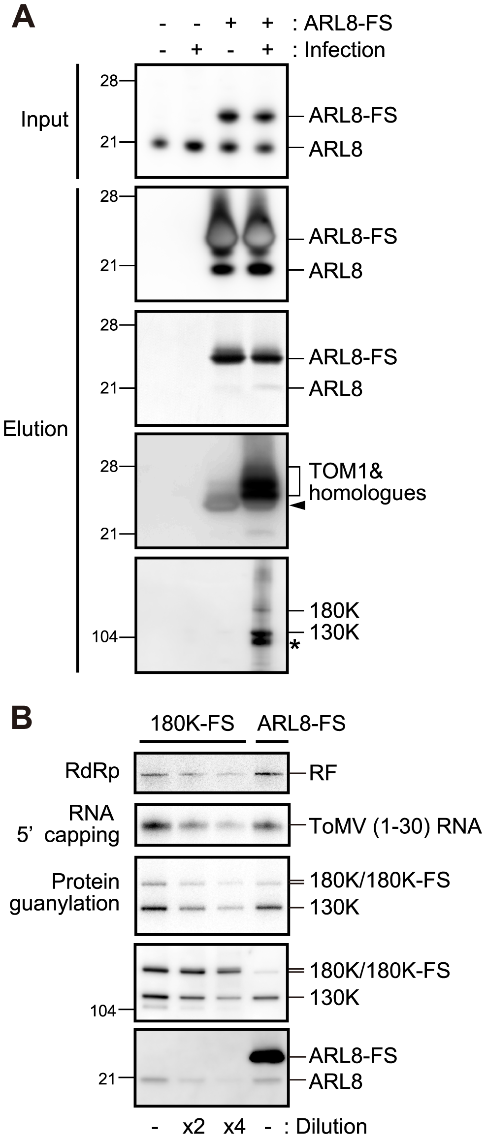 Affinity purification of ARL8-FS from uninfected and ToMV-infected BY-2 cells.