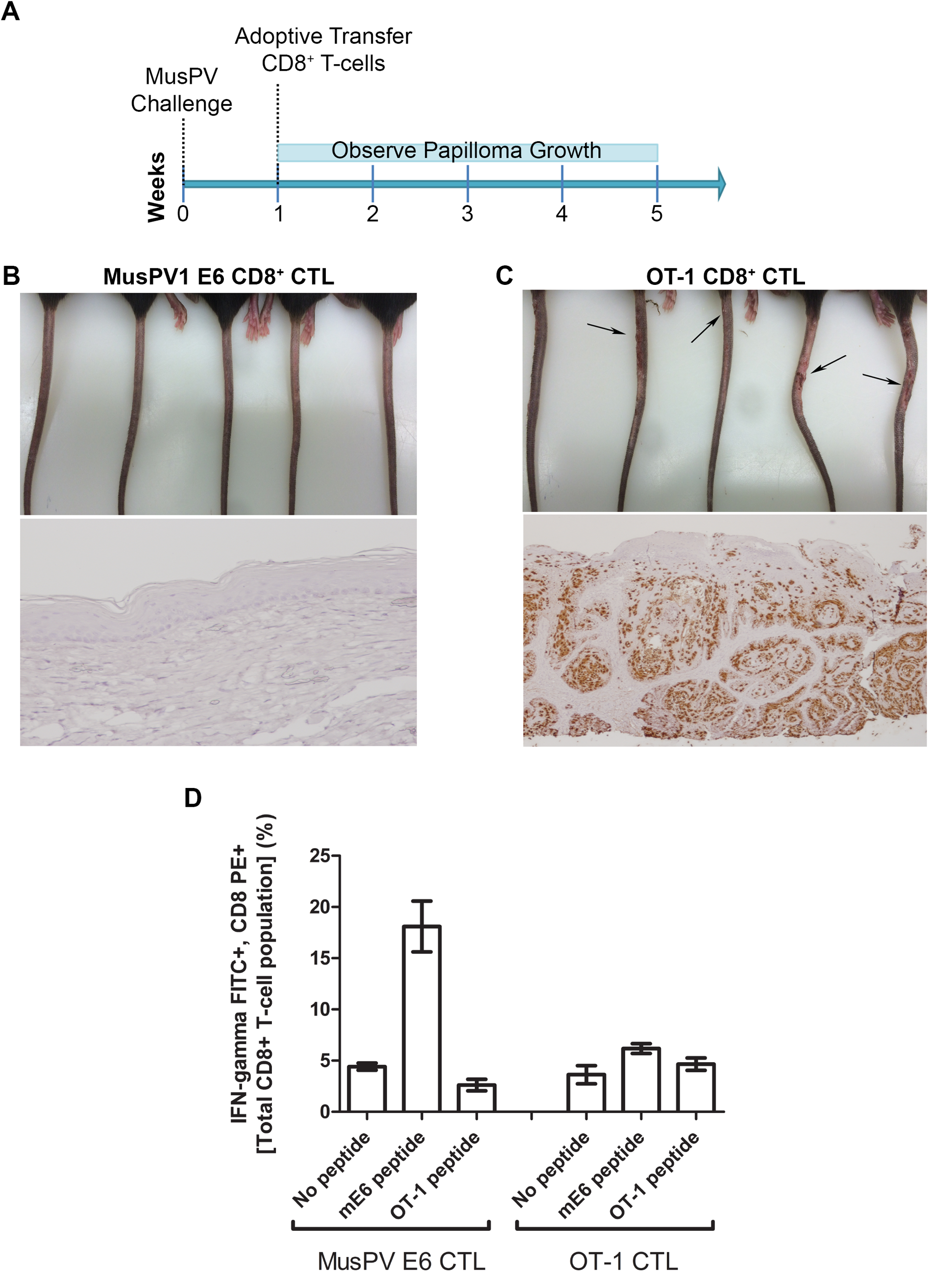 Adoptive transfer of E6-specific CD8+ cytotoxic T cell line one week after MusPV1 challenge prevents papilloma formation in immunodeficient mice.