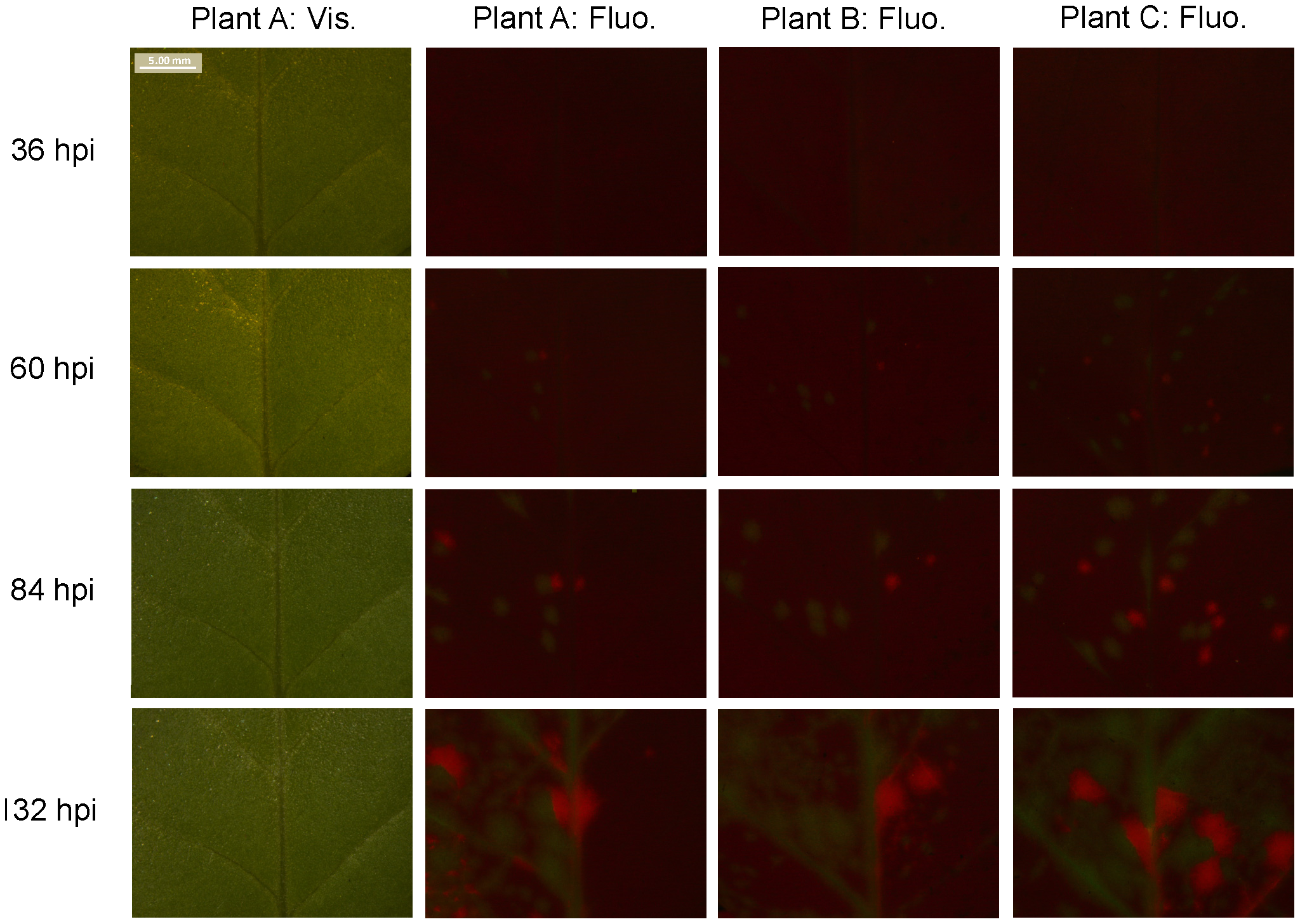 Fluorescence time course in inoculated <i>N. tabacum</i> leaves.