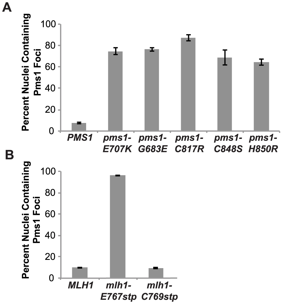 Zinc Metal coordination mutations cause increased levels of Mlh1-Pms1-4GFP foci.