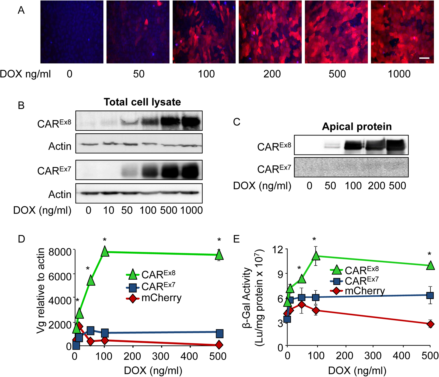 Induction of CAR<sup>Ex8</sup> expression increases the susceptibility of polarized epithelia to AdV entry and transduction.