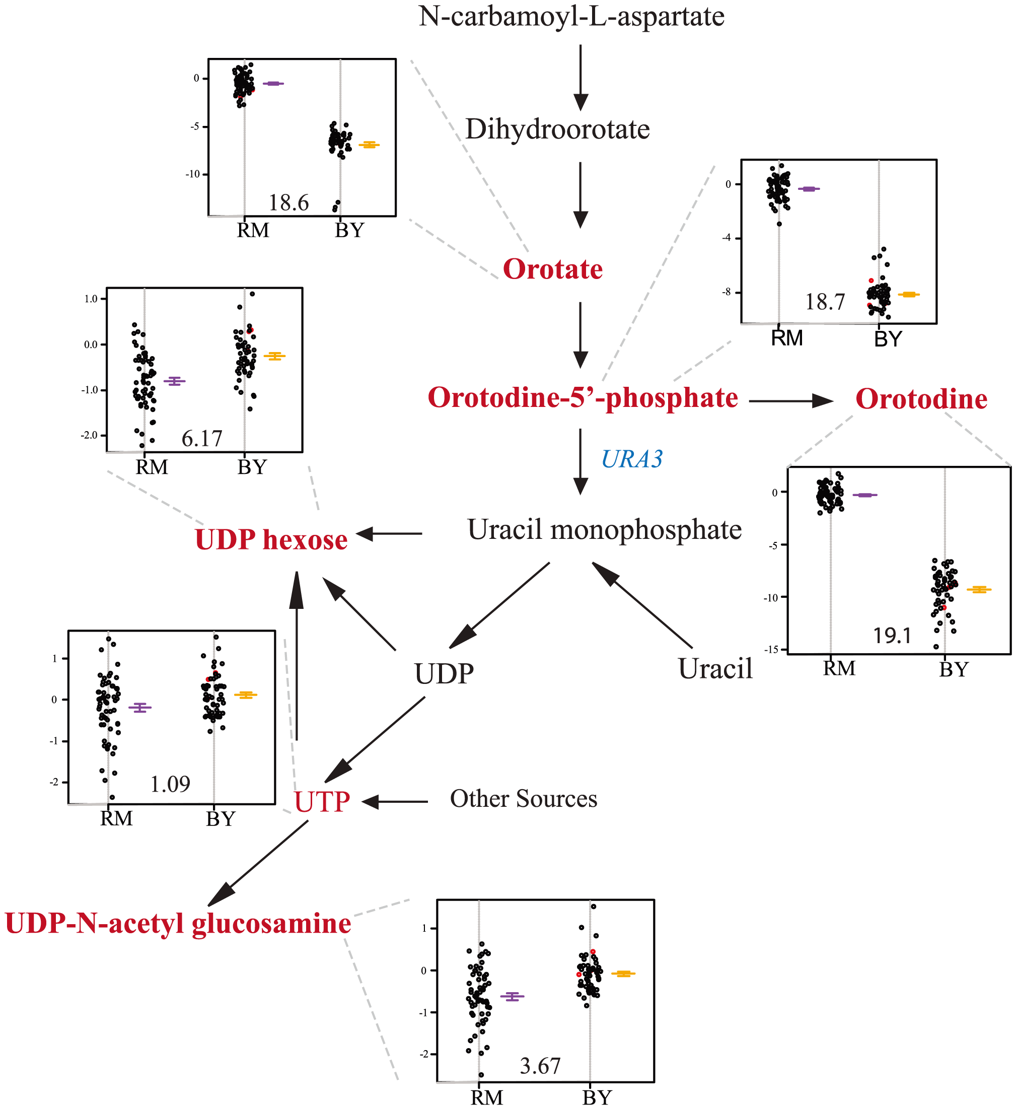 Levels of pyrimidine intermediates and products differ based on the <i>ura3</i> allele inherited.