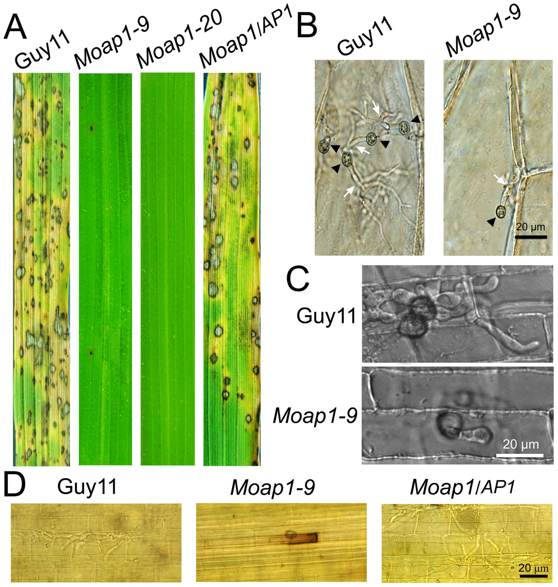 Pathogenicity of the <i>Moap1</i> mutant strain.