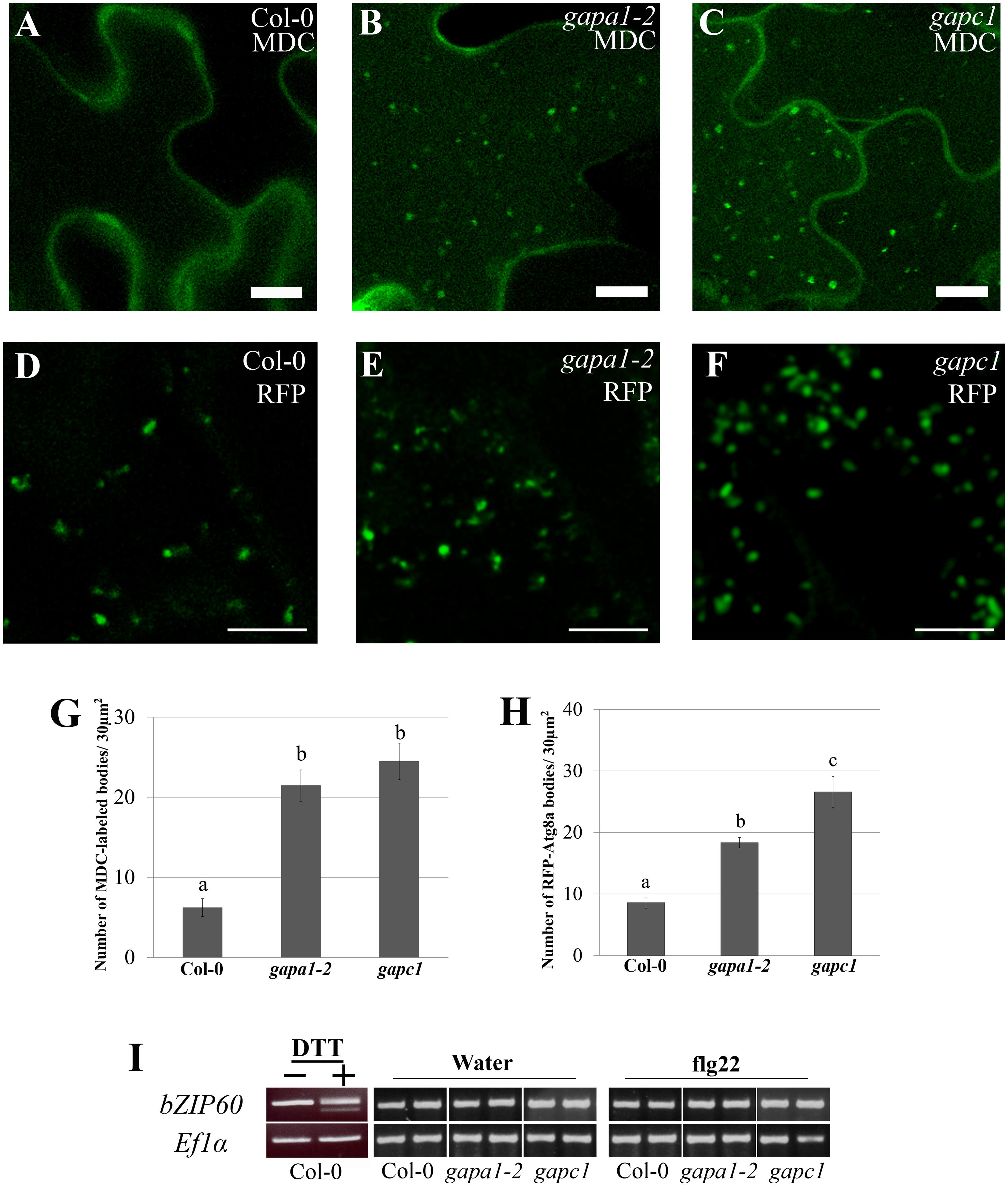 <i>gapa1-2</i> and <i>gapc1</i> exhibit enhanced basal autophagy.