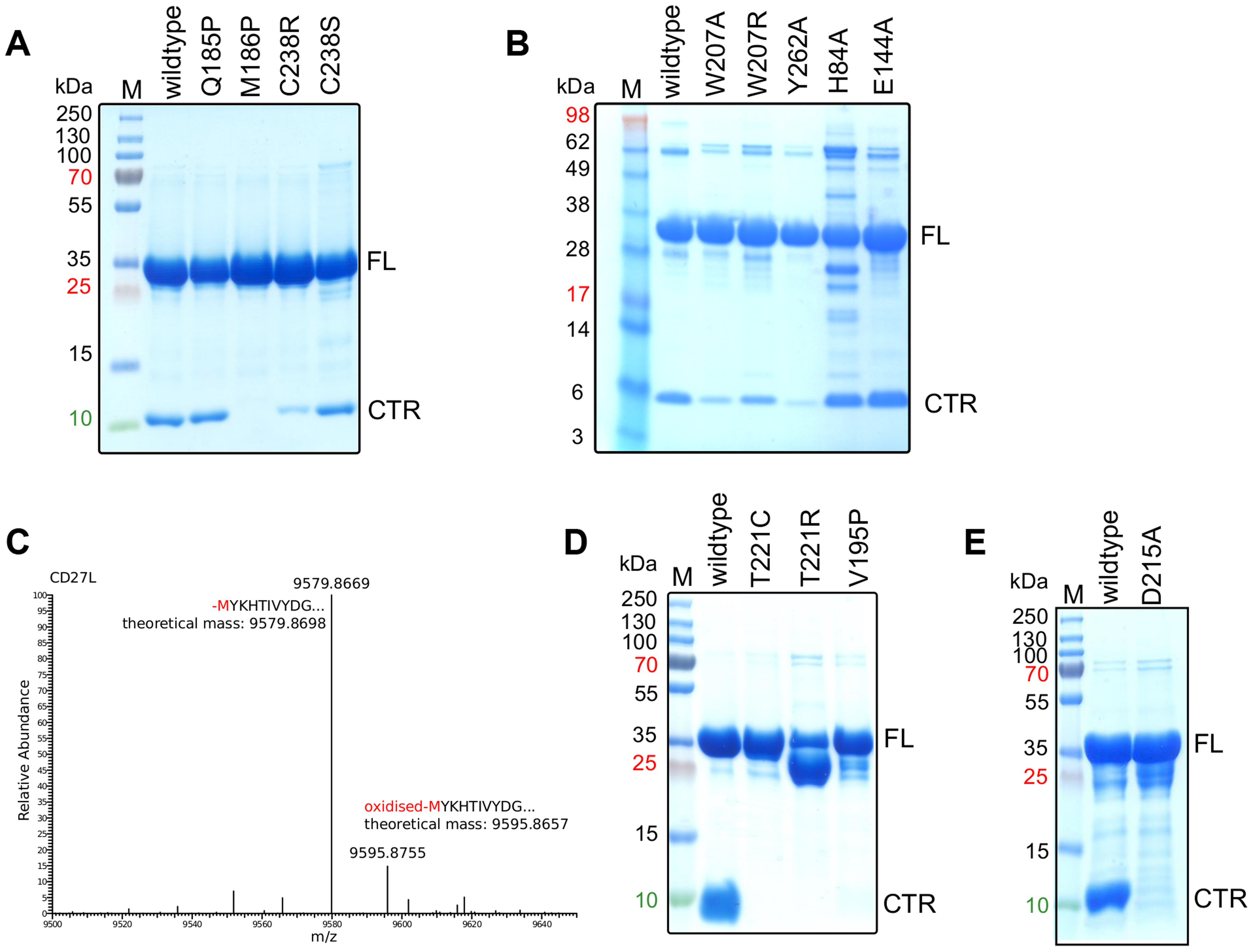 The cleavage of the CD27L and CTP1L endolysins occurs at a specific site and is affected by mutagenesis.