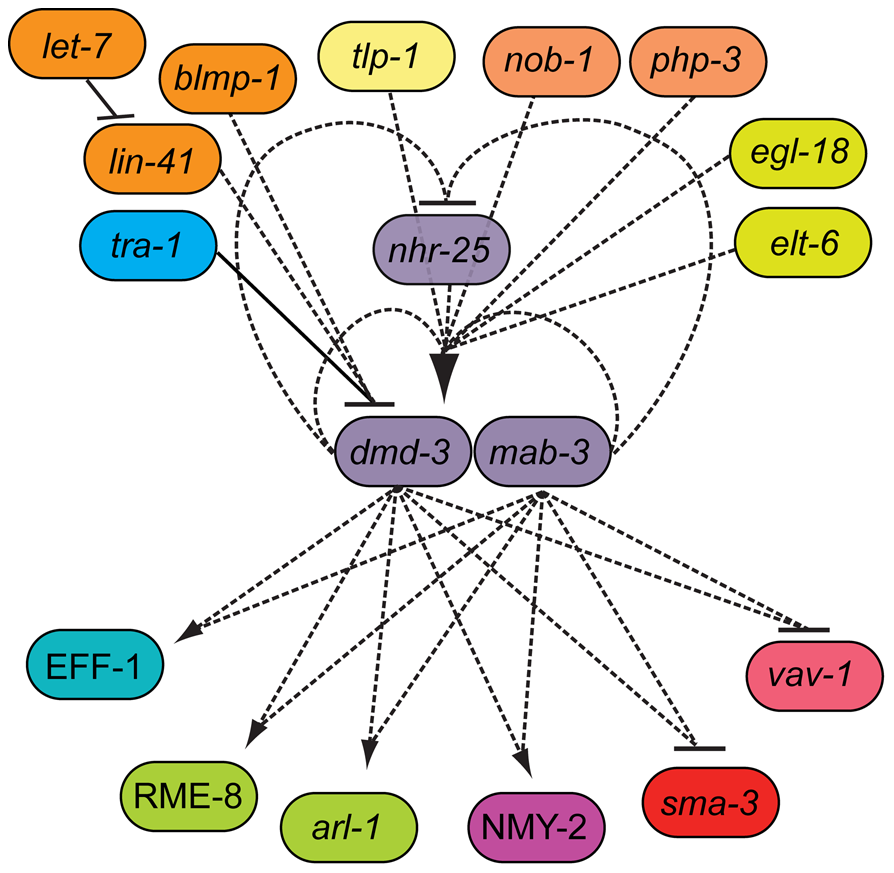 The genetic architecture of tail tip morphogenesis, showing experimentally validated connections between components.