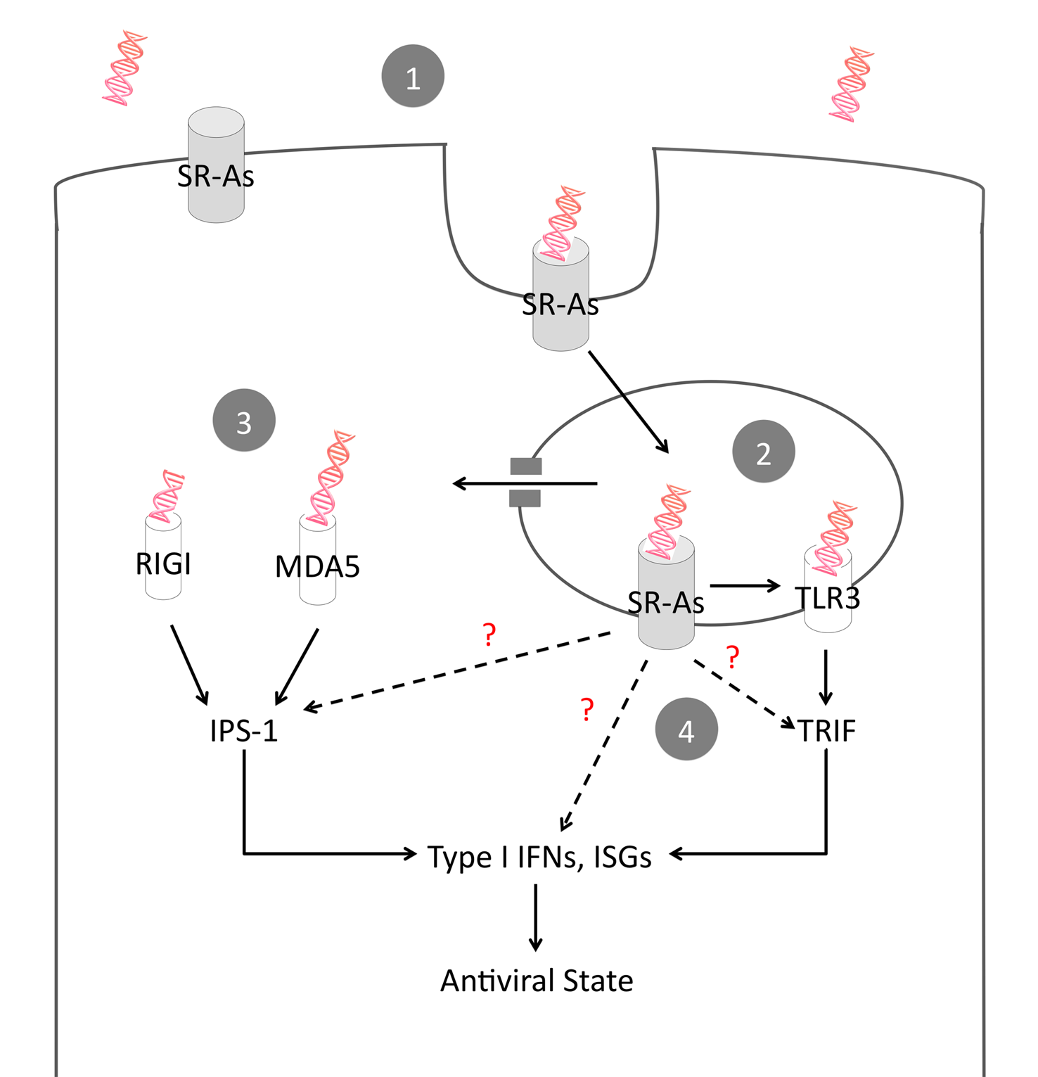 Proposed model of SR-A-mediated antiviral activity.