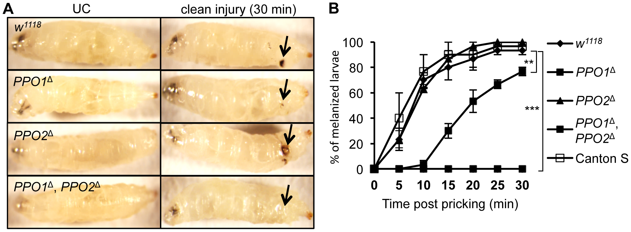 Both PPO1 and PPO2 contribute to injury related melanization in larvae.