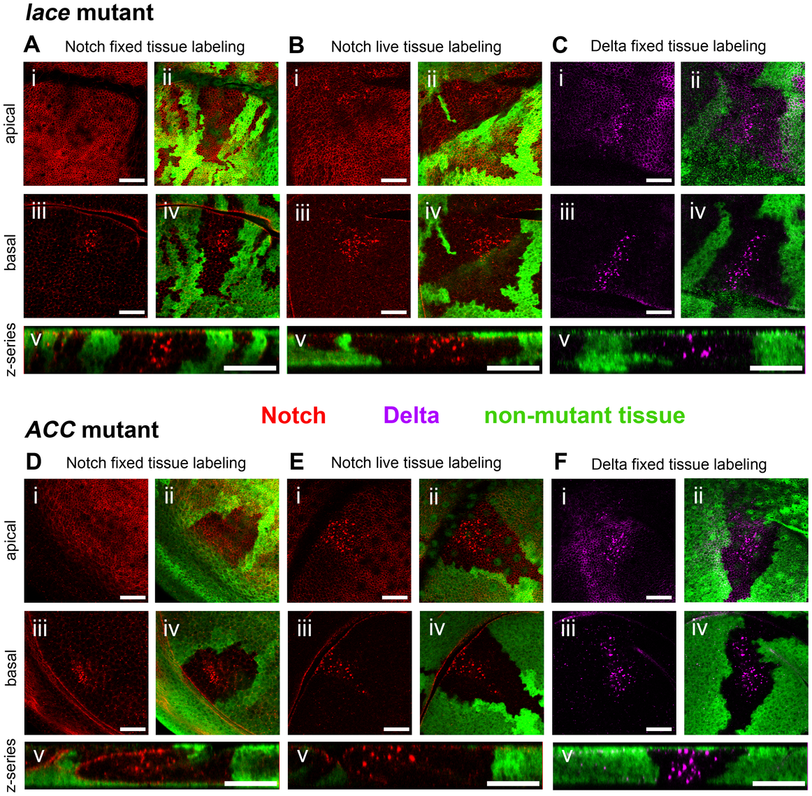 Notch and Delta accumulate abnormally in <i>lace</i> and <i>ACC</i> mutant tissues.