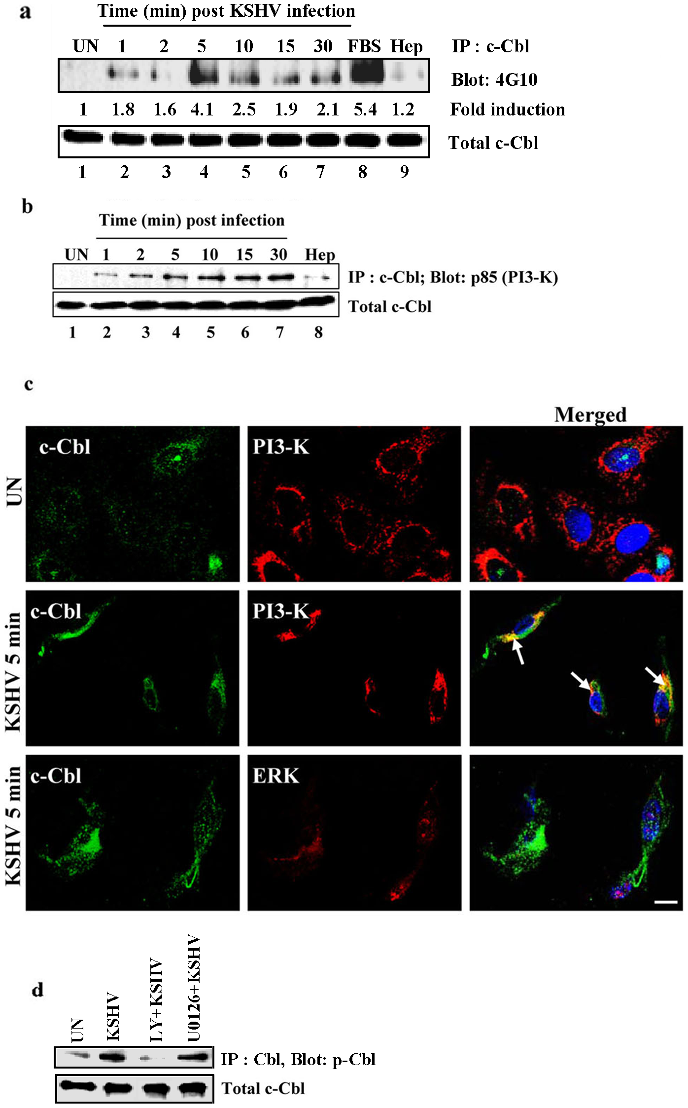 KSHV infection induces tyrosine phosphorylation of c-Cbl and association of c-Cbl with PI3-K.