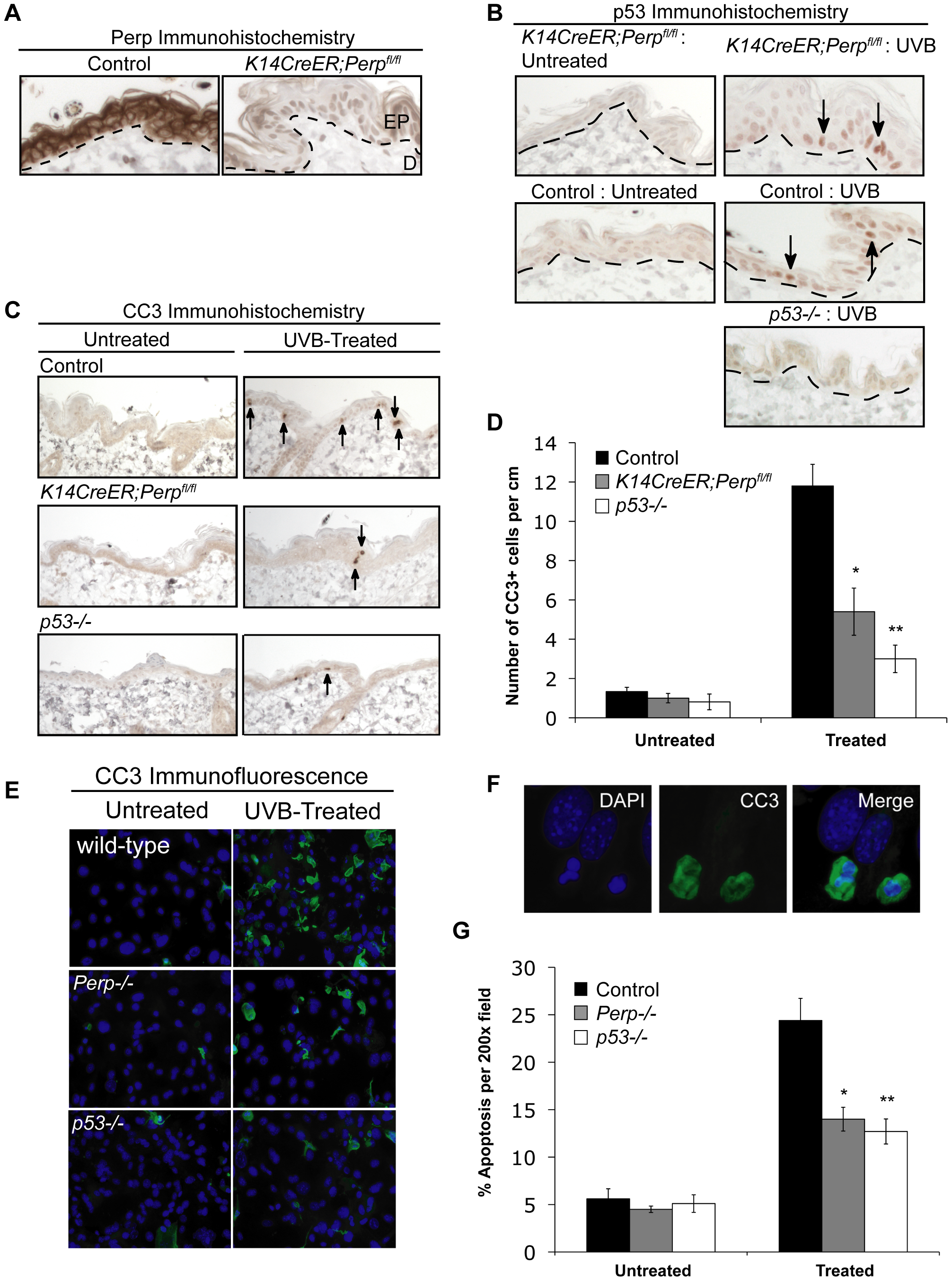 Perp loss compromises UVB-induced apoptosis <i>in vivo</i> and <i>in vitro</i>.