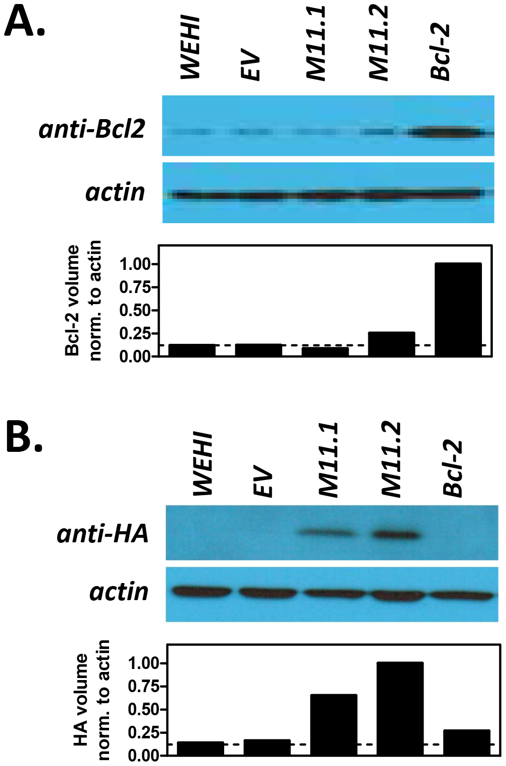 Transduced WEHI-231 B cell lines express host Bcl-2 or viral Bcl-2 (M11) proteins.
