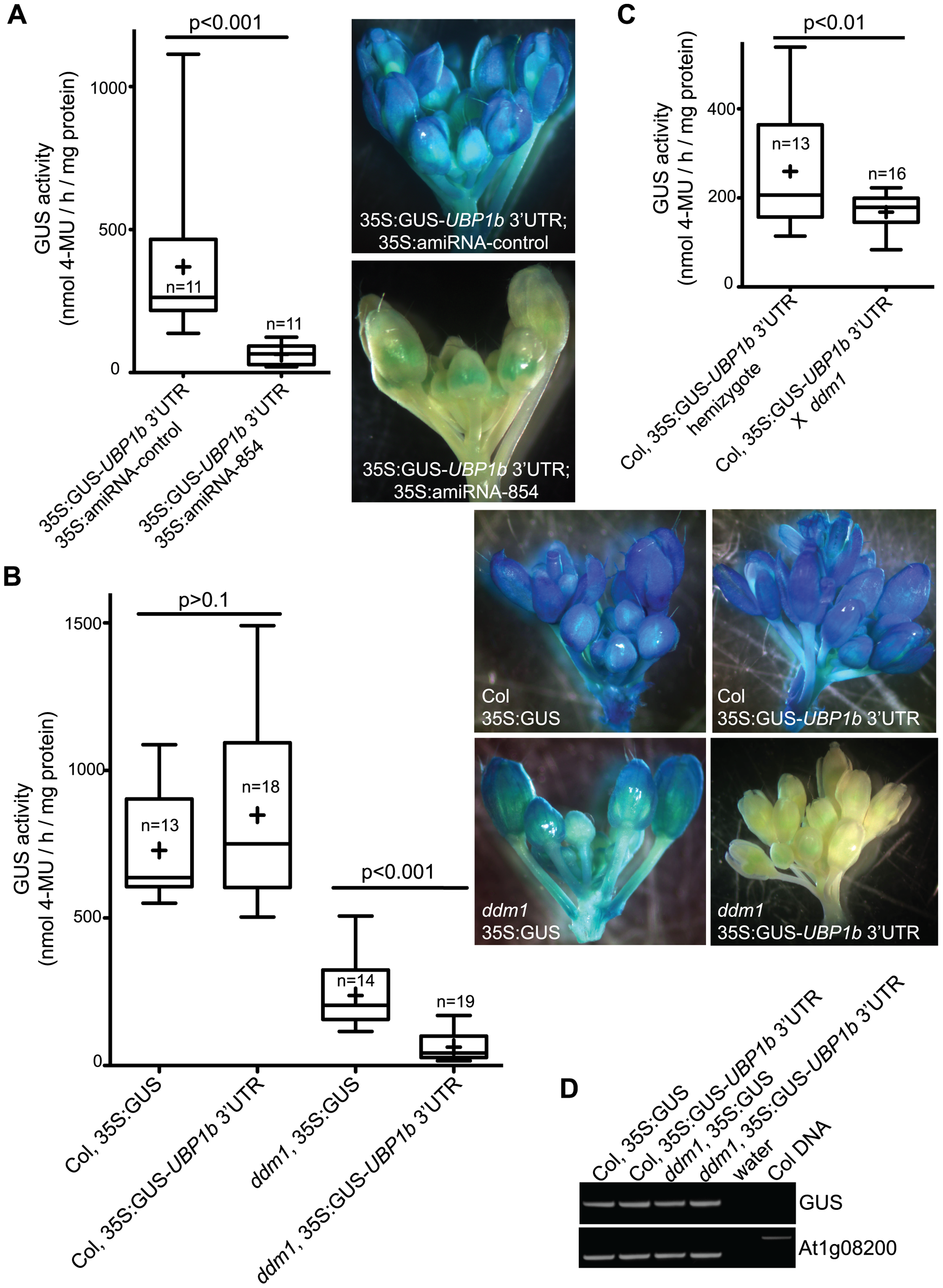 Accumulation of 21–22 nt siRNA854 negatively regulates transgene transcripts with the <i>UBP1b</i> 3′ UTR.