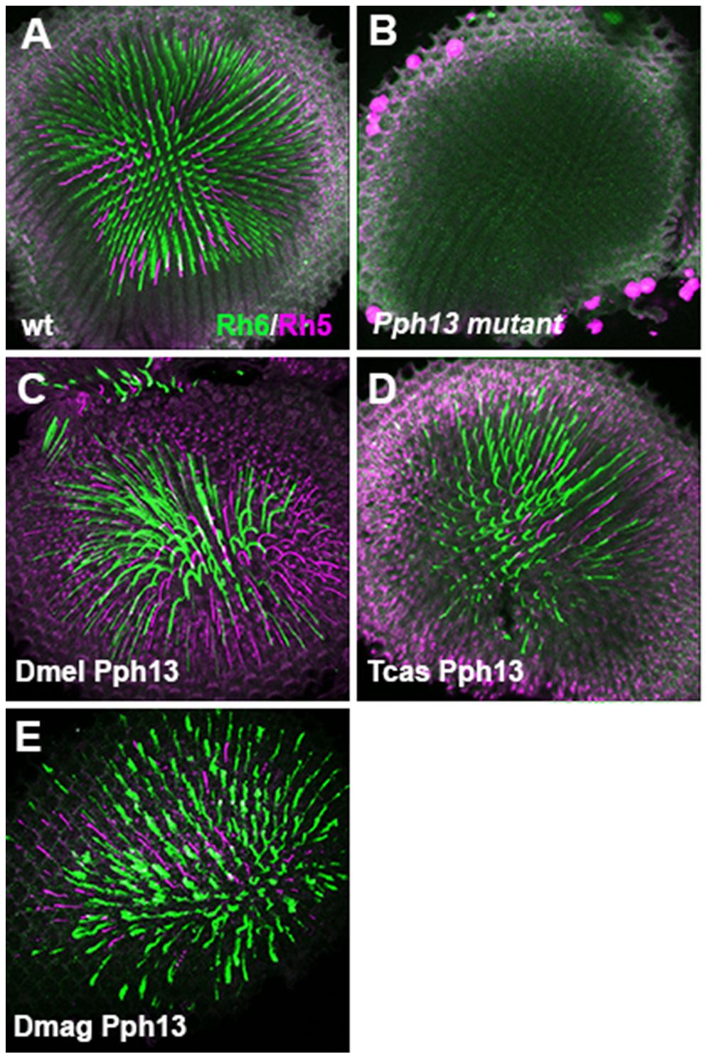 <i>In vivo</i> rescue of opsin expression in <i>Pph13</i> null mutant <i>Drosophila</i>.