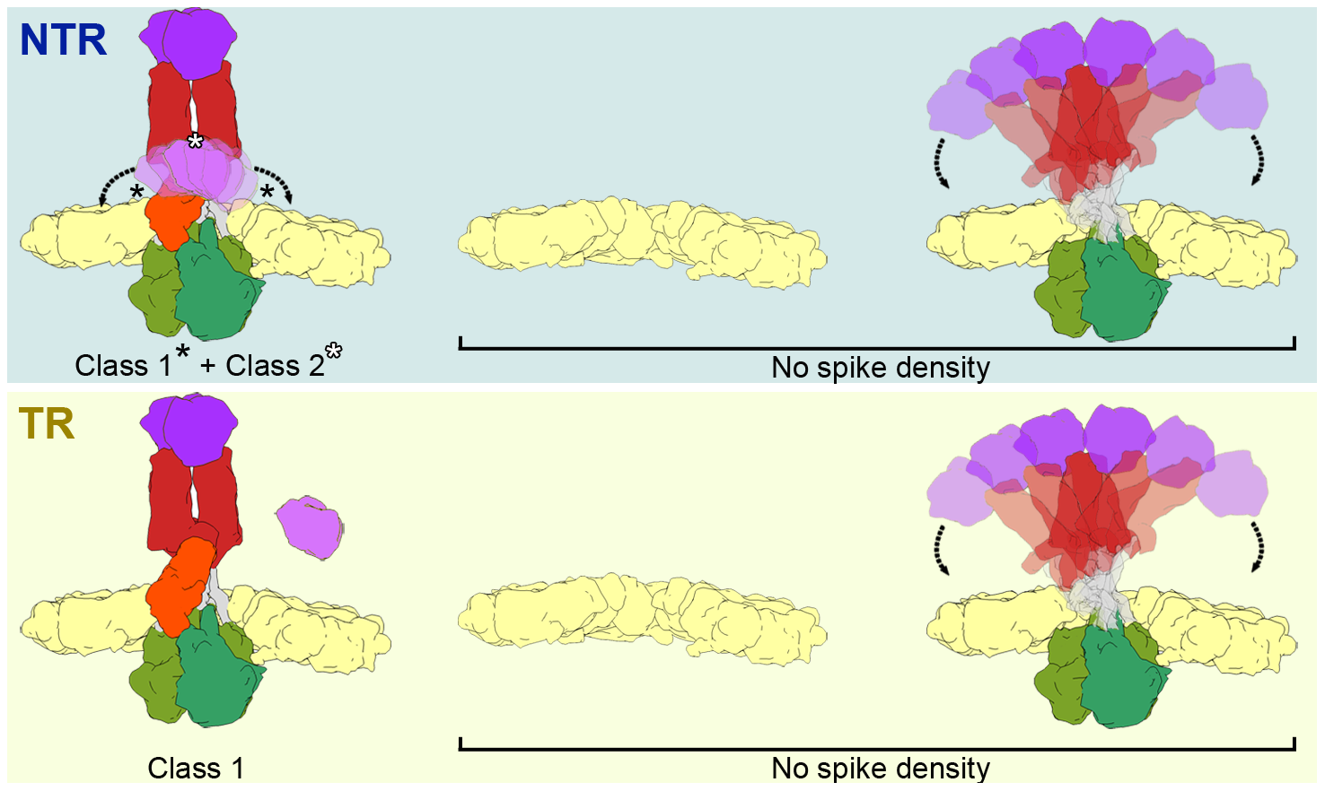 Model of the conformational states of the rotavirus spike in NTR- and TR-TLP.