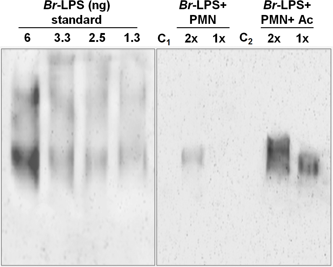 Quantities of <i>Br</i>-LPS interacting with PMNs.