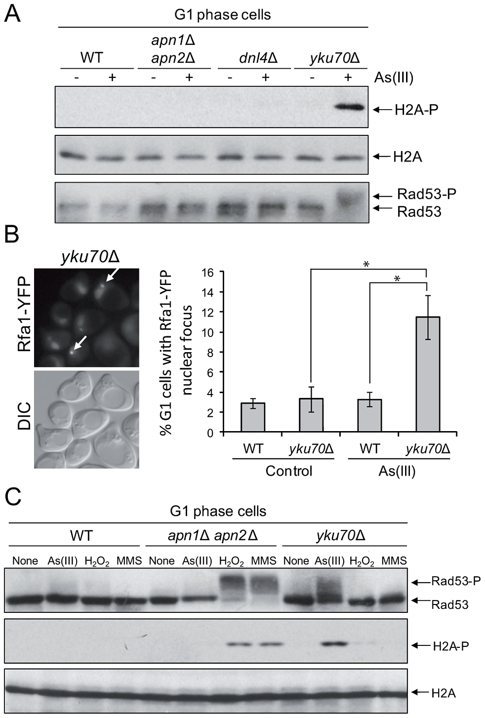 As(III) induces DNA damage checkpoint response in G1 phase in Yku70-deficient cells.
