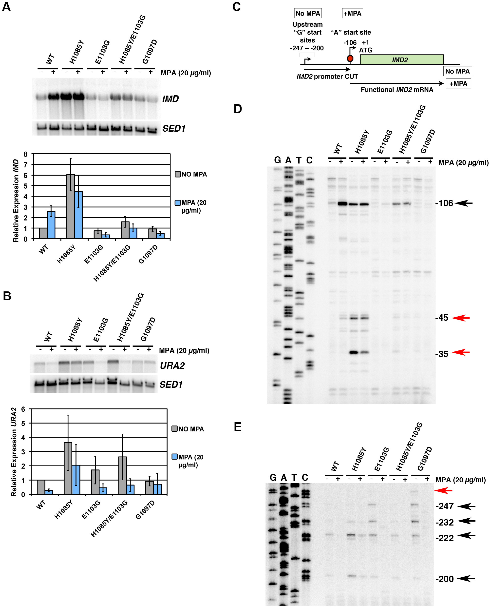 Pol II TL mutants alter transcription of <i>IMD2</i> and <i>URA2</i>, genes required for GTP and UTP synthesis, respectively.