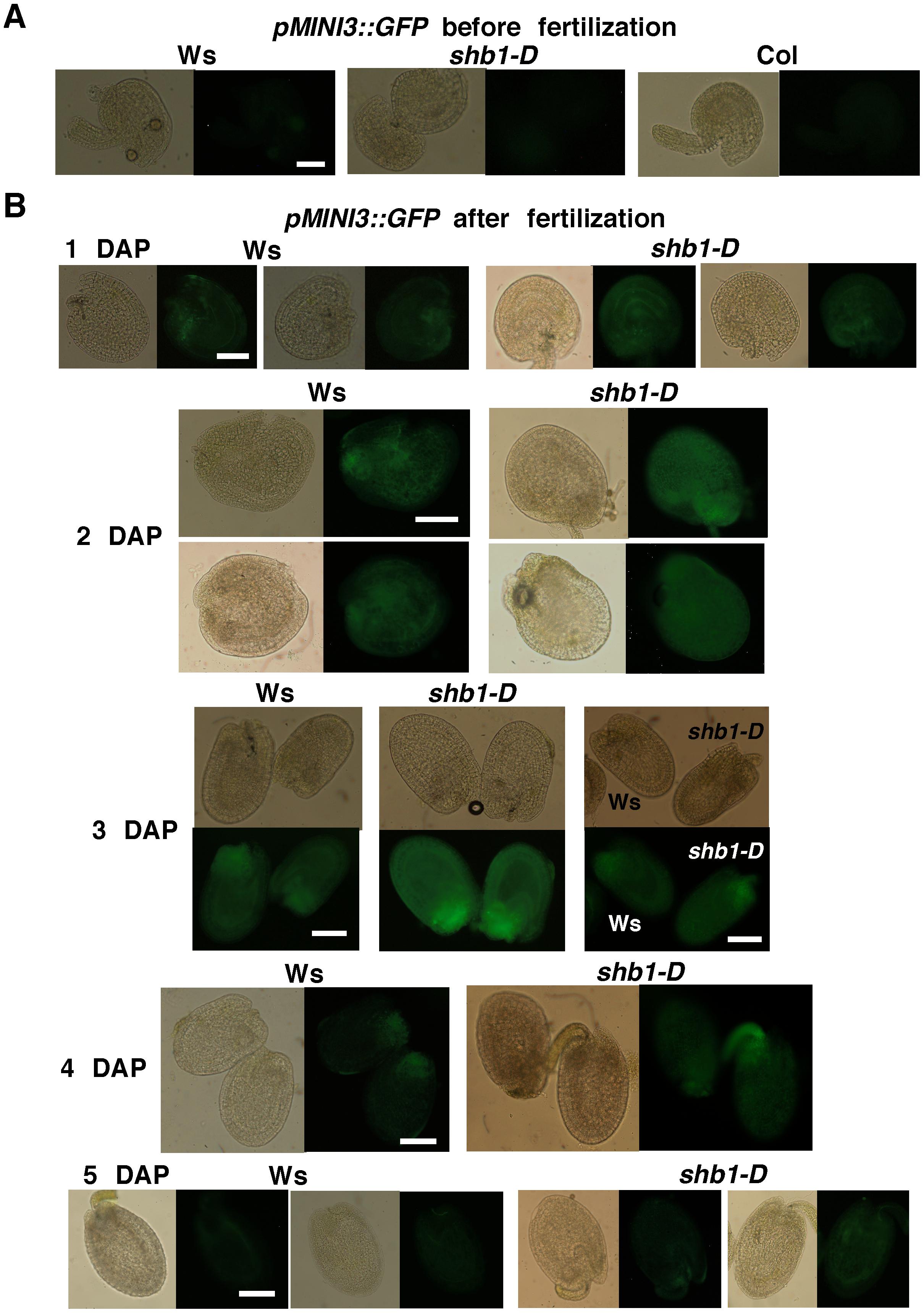 SHB1 regulates the expression of <i>pMINI3::GFP</i>.