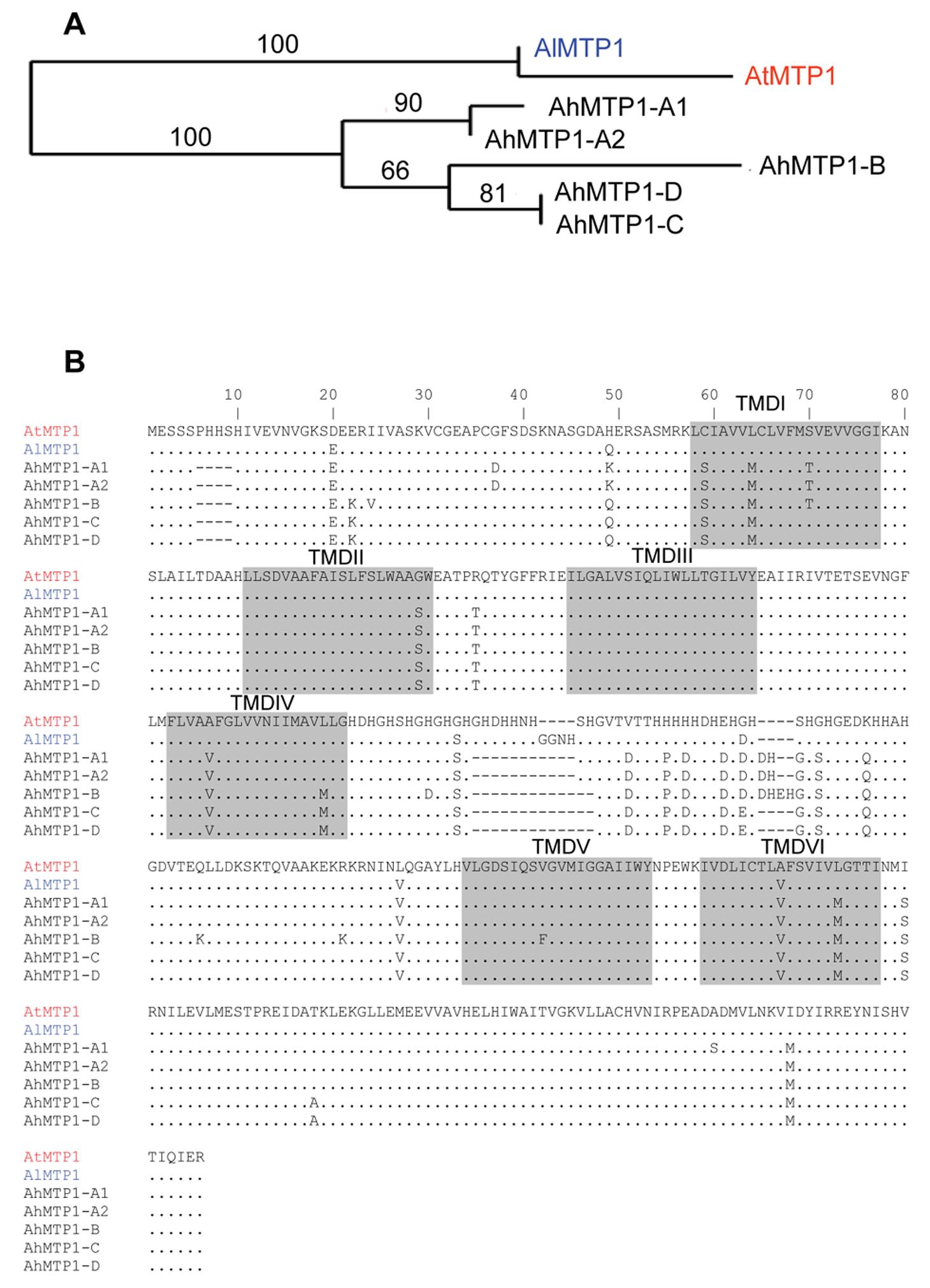 Phylogenetic analysis of <i>MTP1</i> gene sub-family from <i>A. thaliana</i>, <i>A. lyrata</i>, and <i>A. halleri</i>.