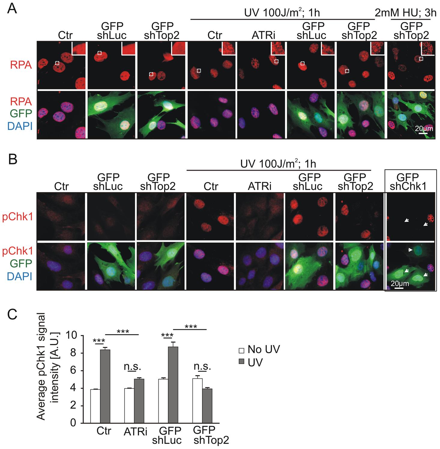 Mutation of AAD impairs ATR-Chk1 pathway <i>in vivo</i>.