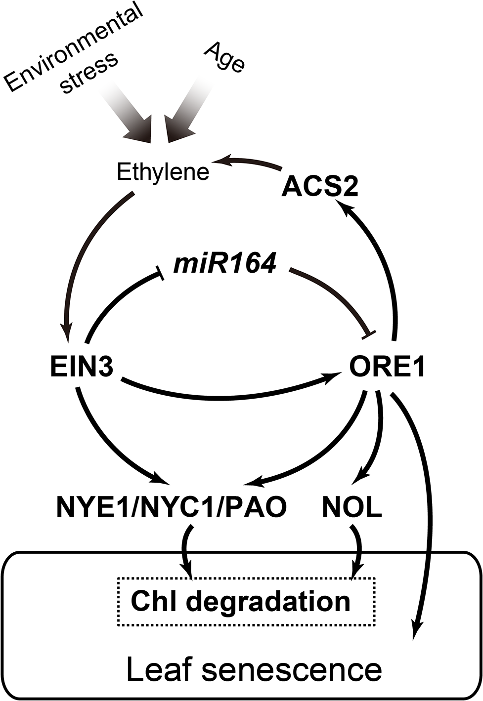 A working model of the EIN3-ORE1-CCGs coherent feed-forward loop in regulation of ethylene-mediated chl degradation.