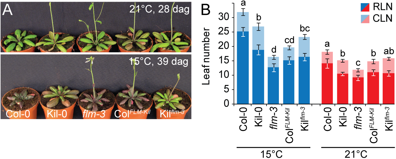 <i>FLM</i><sup><i>Kil-0</i></sup> accelerates flowering.