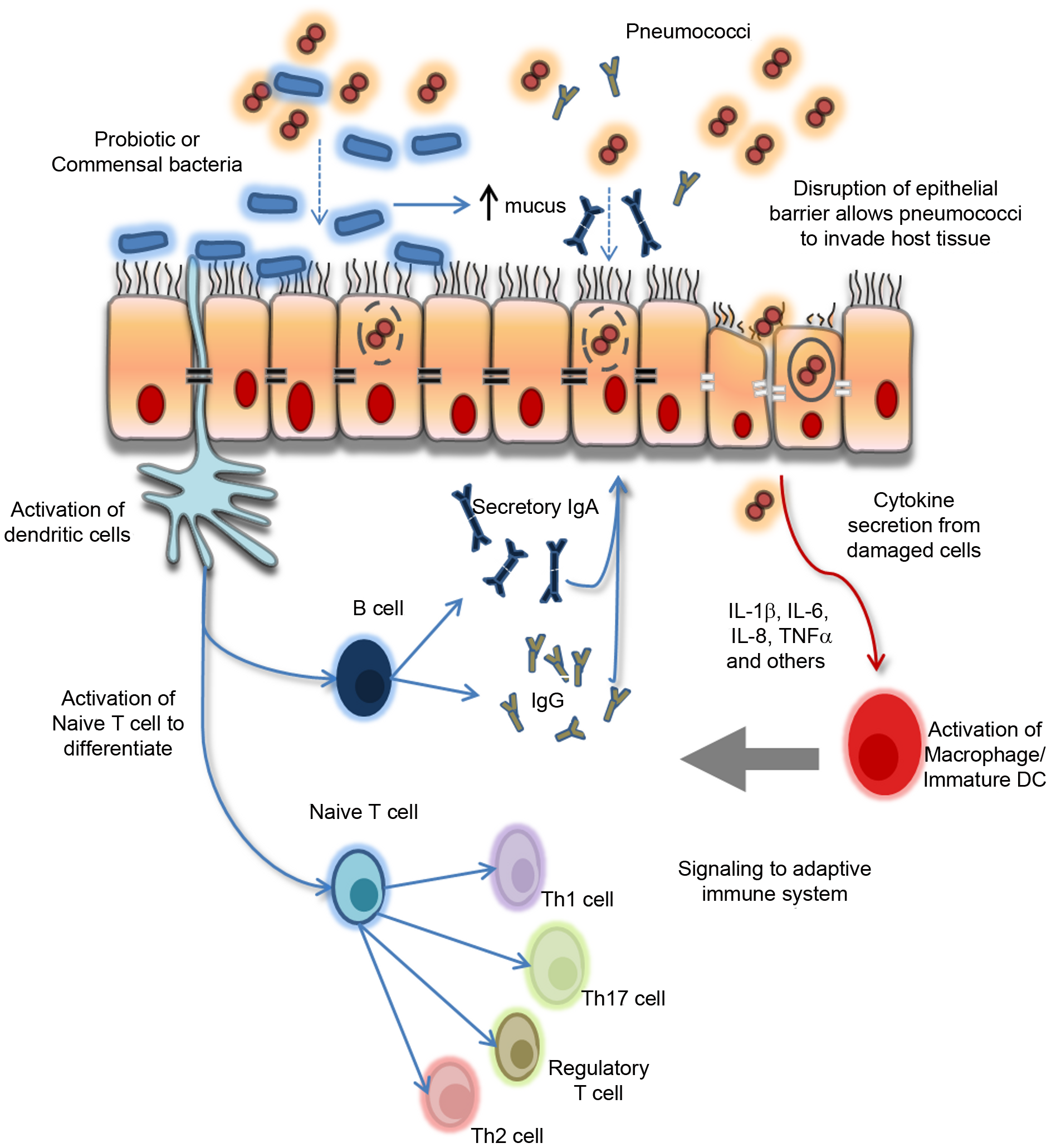 Paradigm for the proposed biological effects of probiotic bacteria in protection against pneumococcal infection.