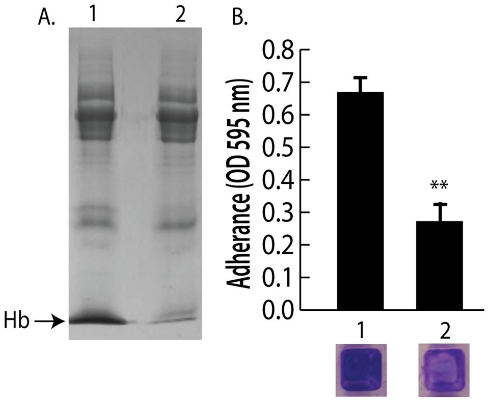 Depletion of hemoglobin from a nasal secretion results in reduced <i>S. aureus</i> surface colonization.