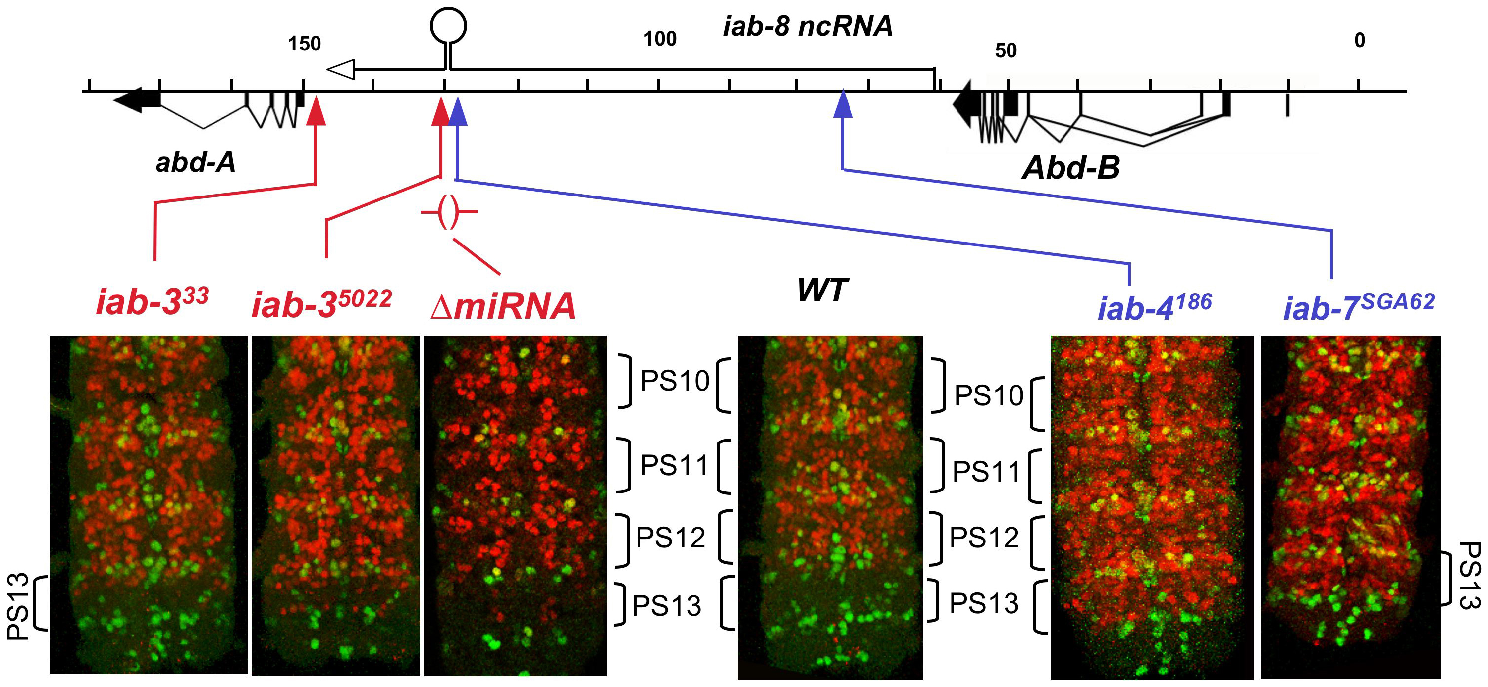 ABD-A expression in rearrangements truncating the iab-8 ncRNA.