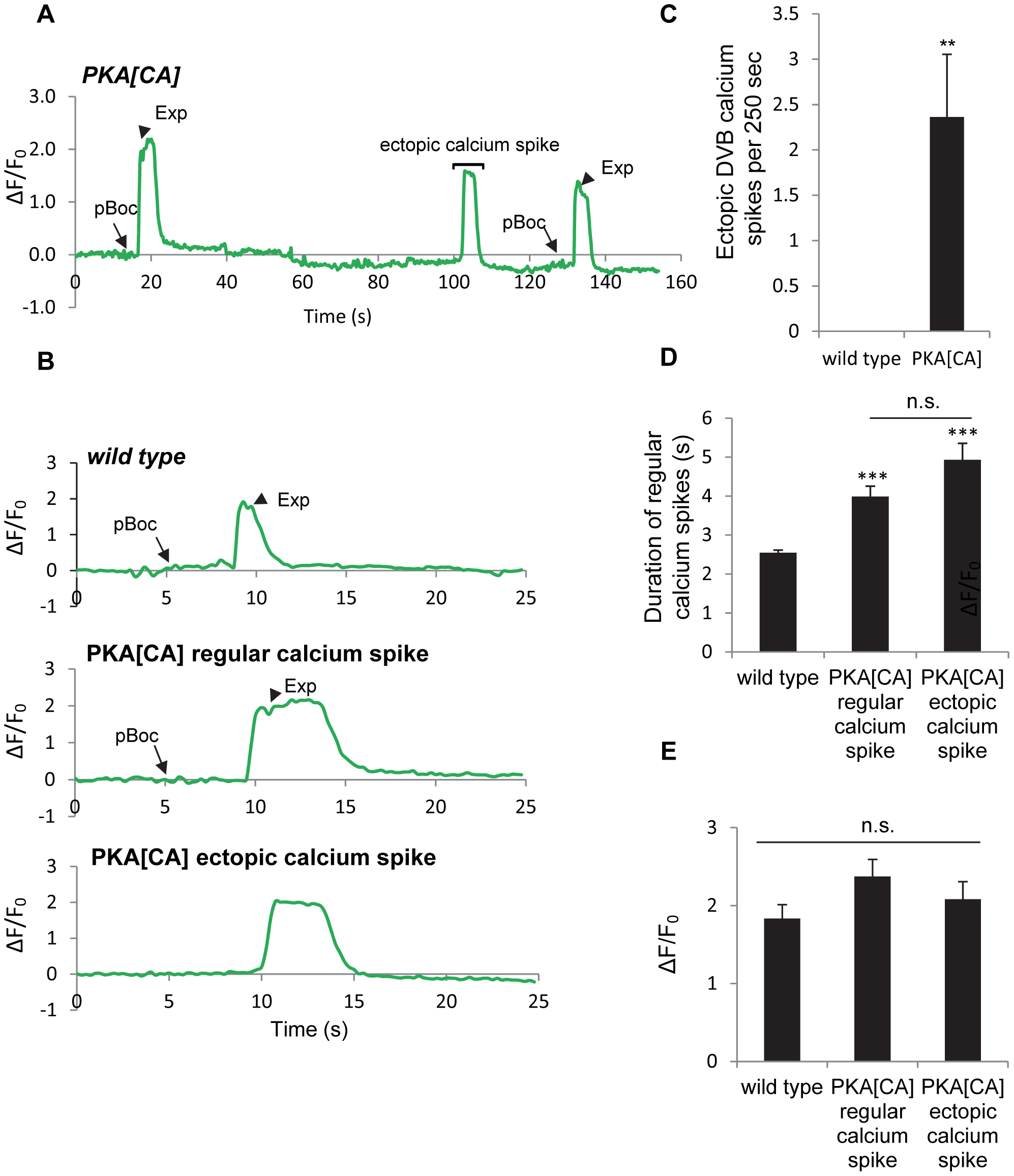 Constitutively active PKA causes ectopic calcium spikes in DVB neurons and increases calcium spike duration.