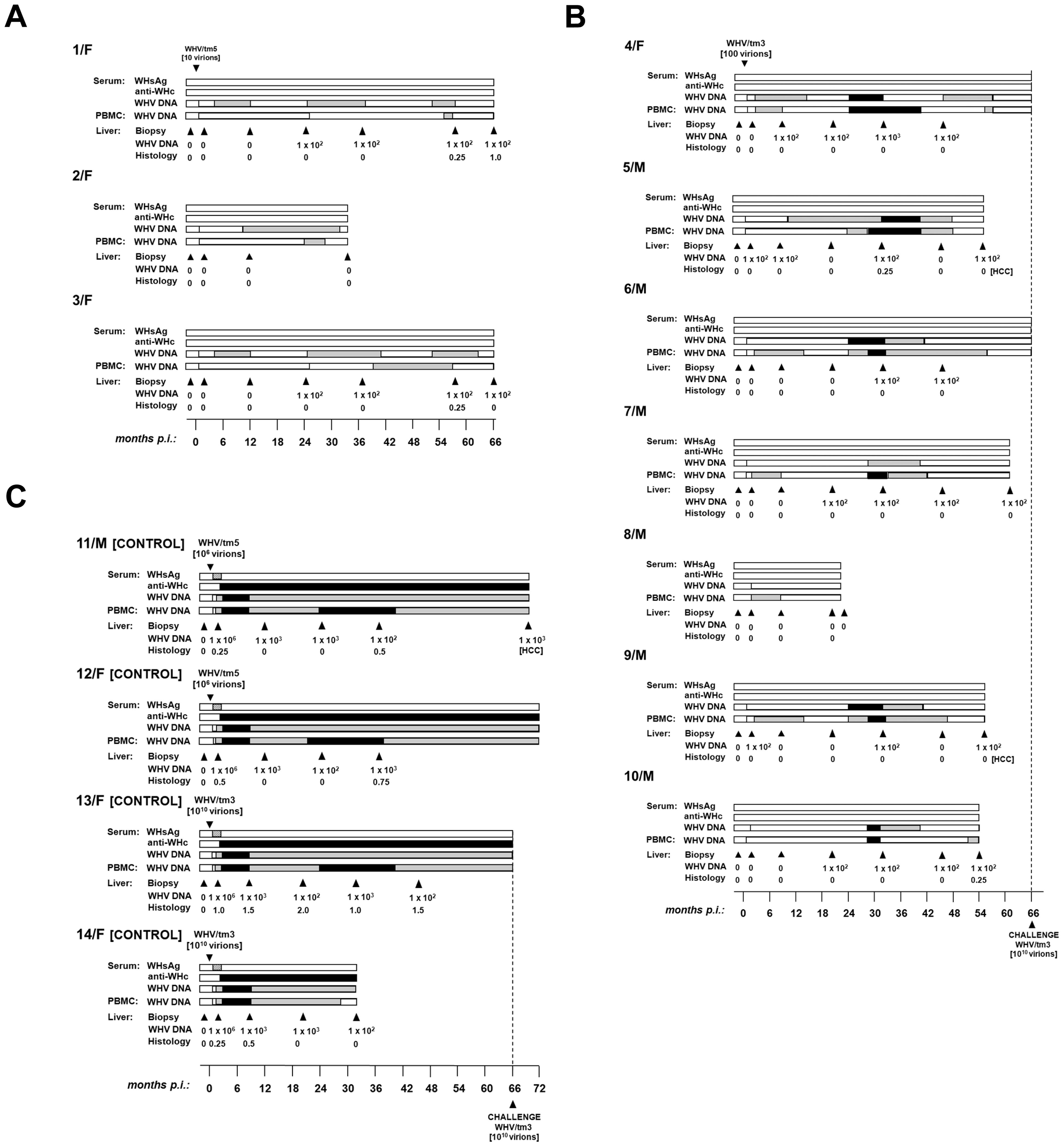 Lifelong profiles of serological markers of WHV infection and WHV DNA detection in serum, PBMC and liver tissue samples, and the results on liver histology in woodchucks injected with a single dose of 10 WHV/tm5 or 100 WHV/tm3 virions and in control animals infected with a liver pathogenic dose of 10<sup>6</sup> or 10<sup>10</sup> virions of the same inocula, respectively.