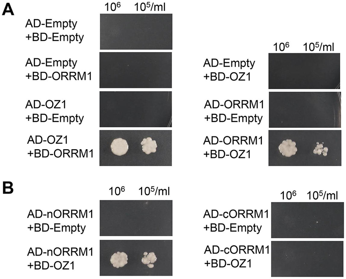 Yeast two-hybrid assay of interaction of ORRM1 and OZ1.
