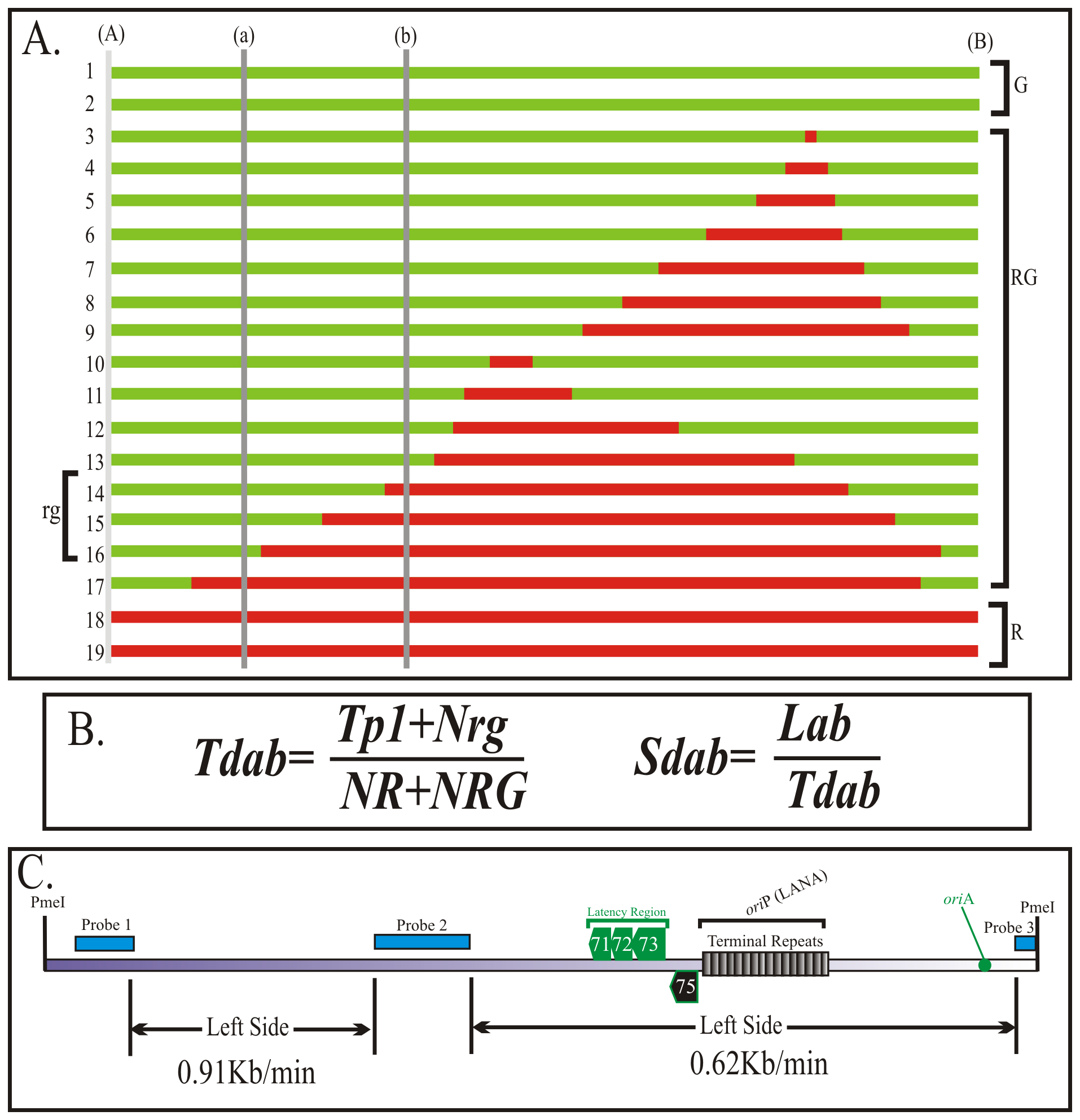 Calculation of the duplication speed of KSHV genome regions.