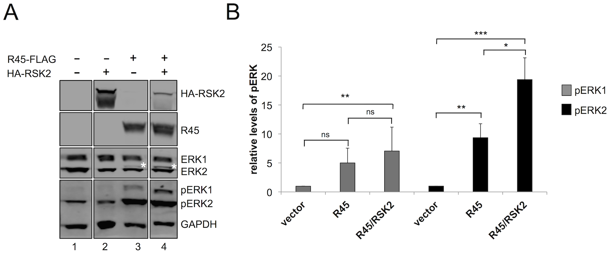 RRV ORF45 (R45) expression leads to the phosphorylation of ERK.