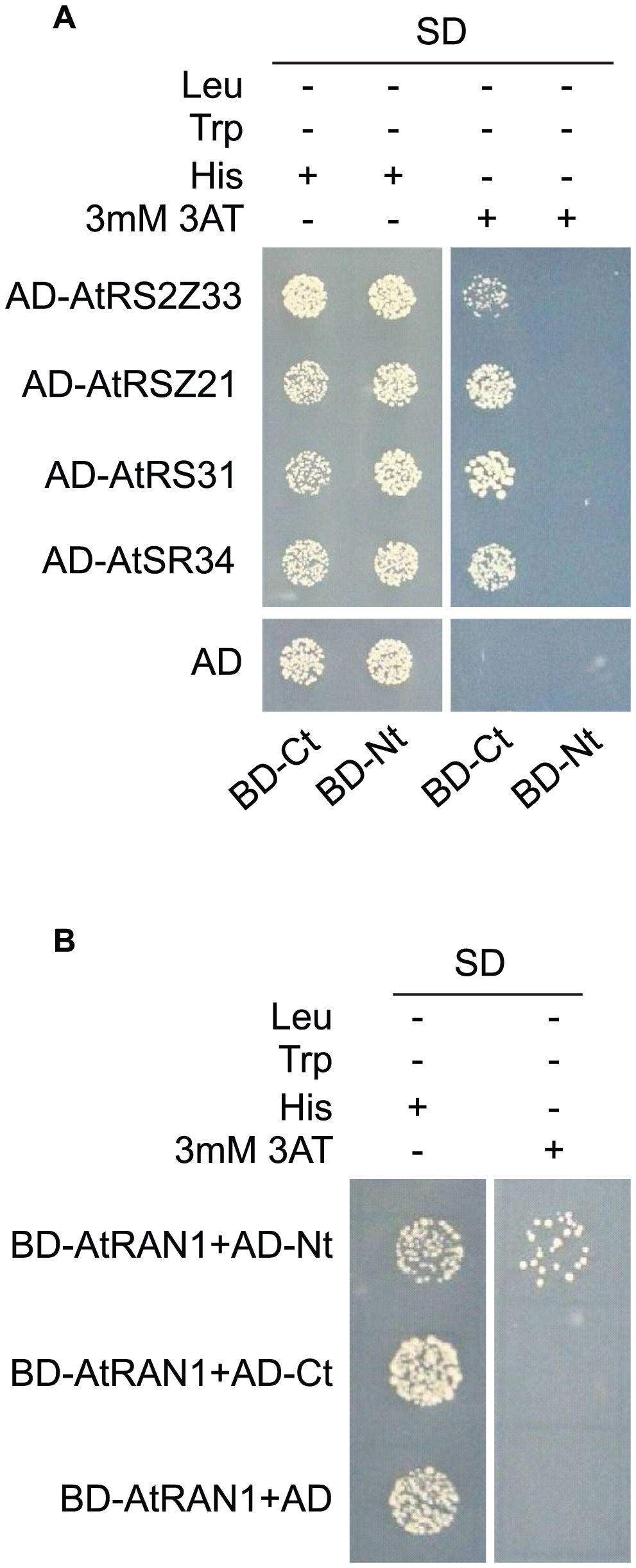 MOS14 interacts with AtRAN1 and SR proteins in yeast two-hybrid assays.