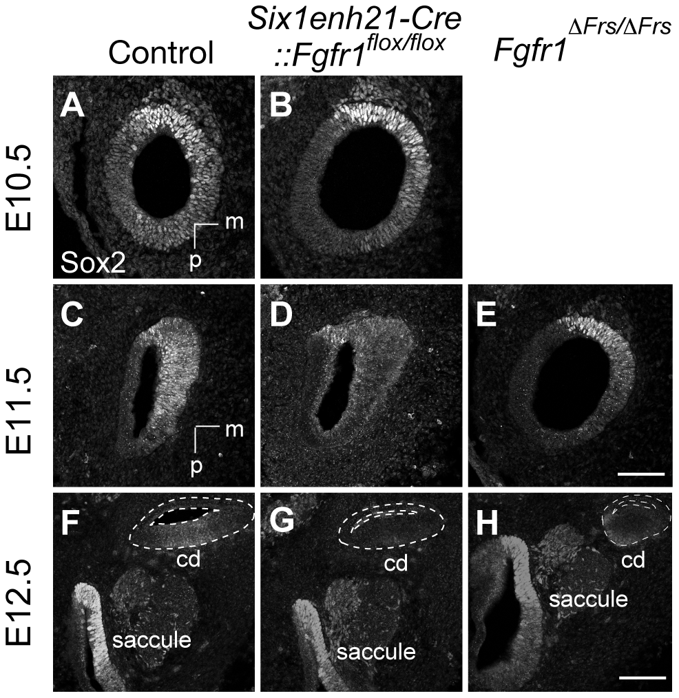 Sox2 is not maintained in FGFR1 signalling mutants.