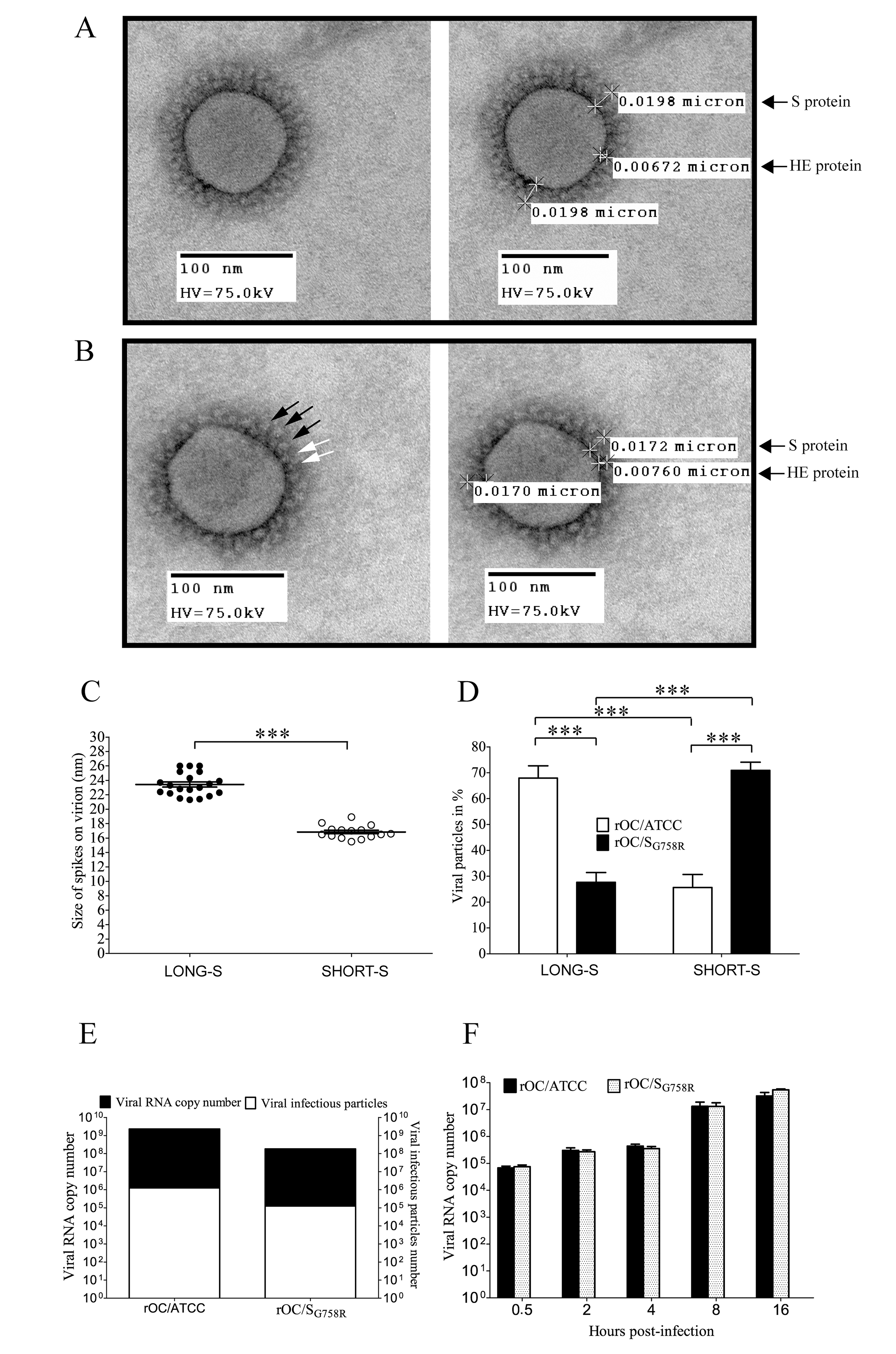Morphology of viral crown peplomers is dependent on cleavage of the S glycoprotein but does not affect virus infectivity.