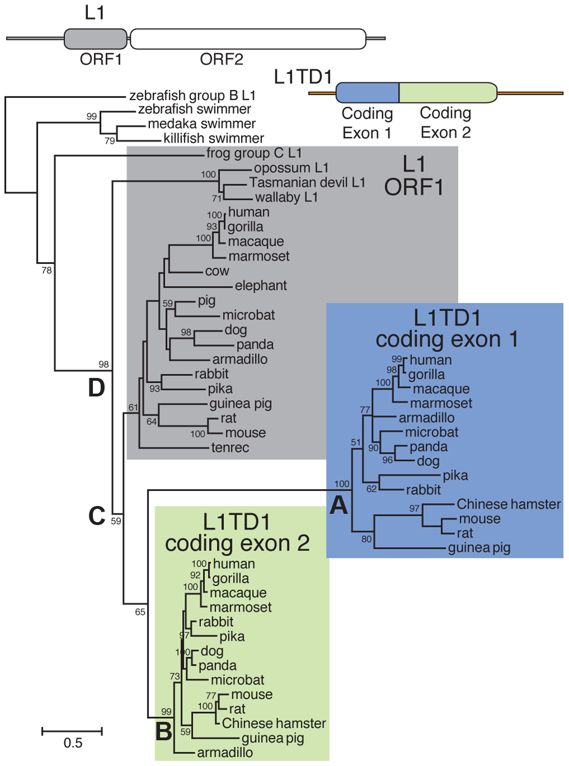 Phylogenetic tree of representative L1-ORF1p sequences and mammalian orthologs of the two <i>L1TD1</i> ORF1p-like regions.