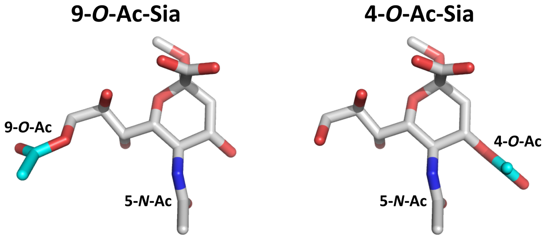 Stereochemical differences between 9-<i>O</i>- and 4-<i>O</i>-acetylated sialic acid.