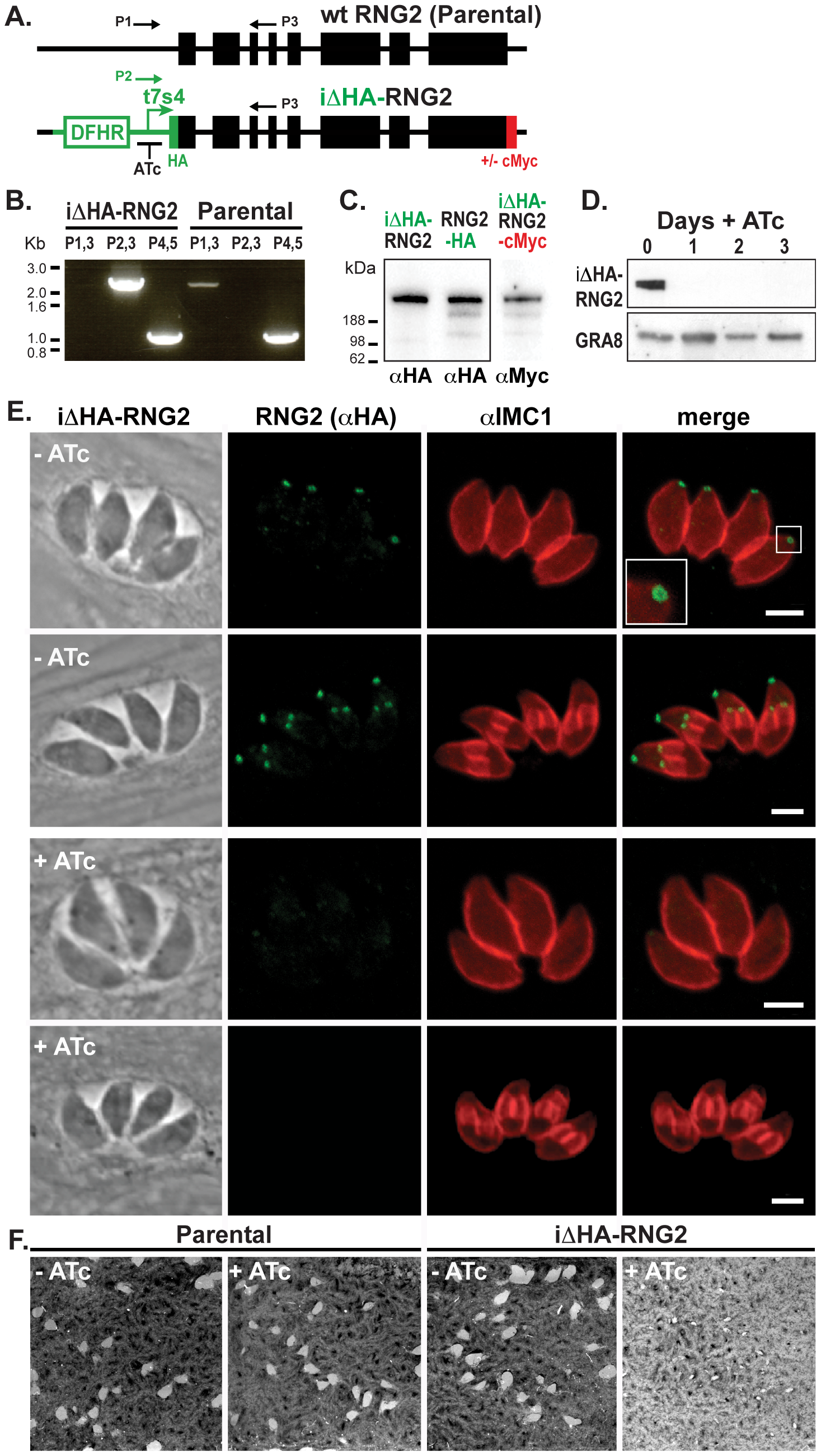 RNG2 is required for parasite growth.