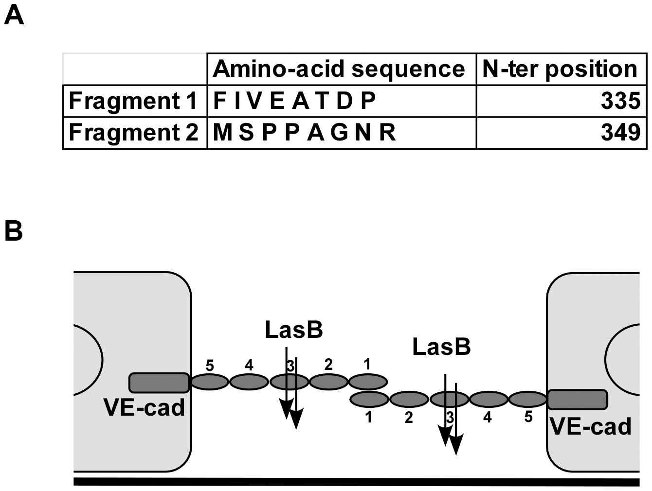 LasB cleavage sites in VE-cadherin extracellular domain.