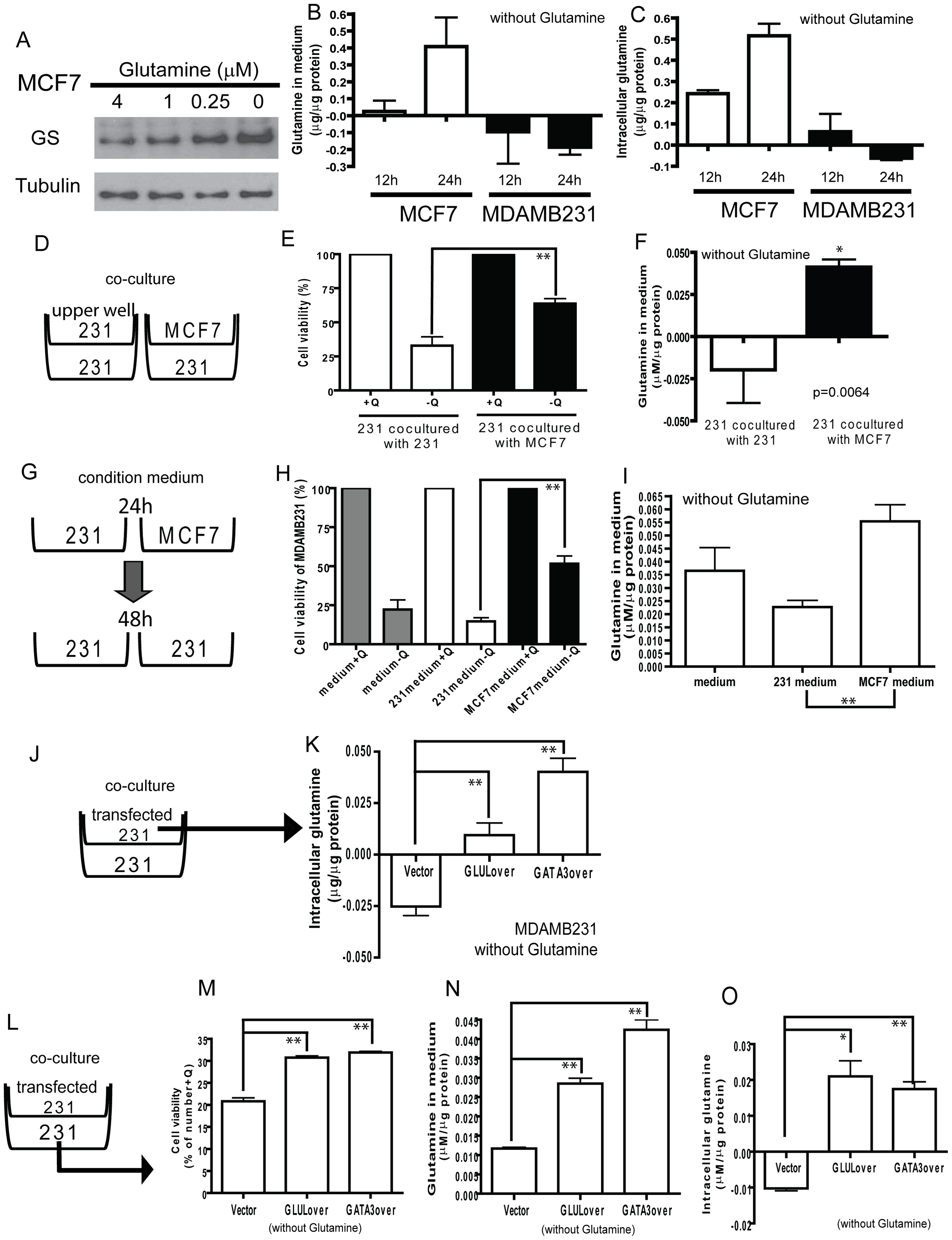 Potential for glutamine symbiosis between luminal and basal cells.
