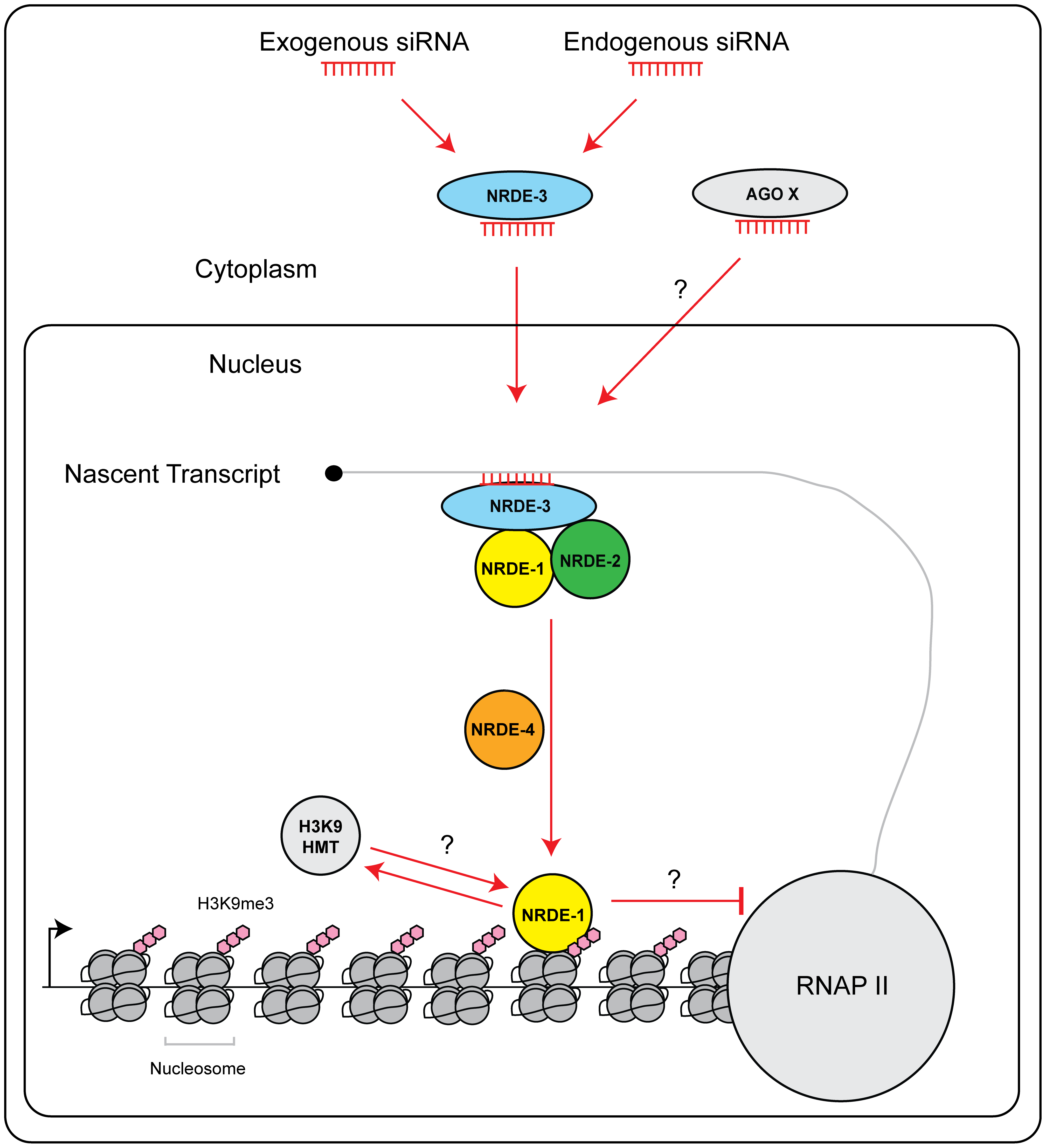Model of NRDE pathway.