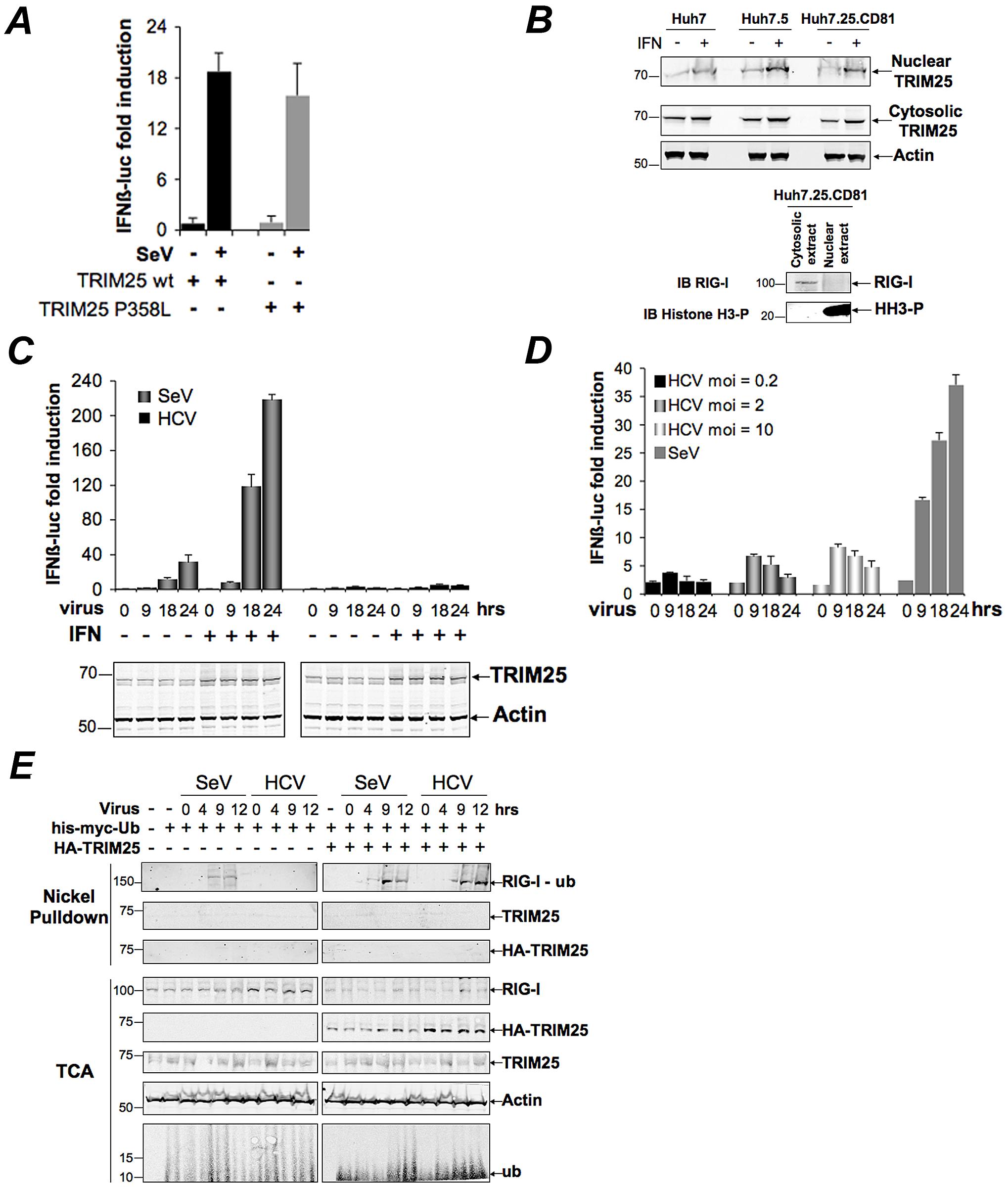 HCV infection negatively controls RIG-I ubiquitination.