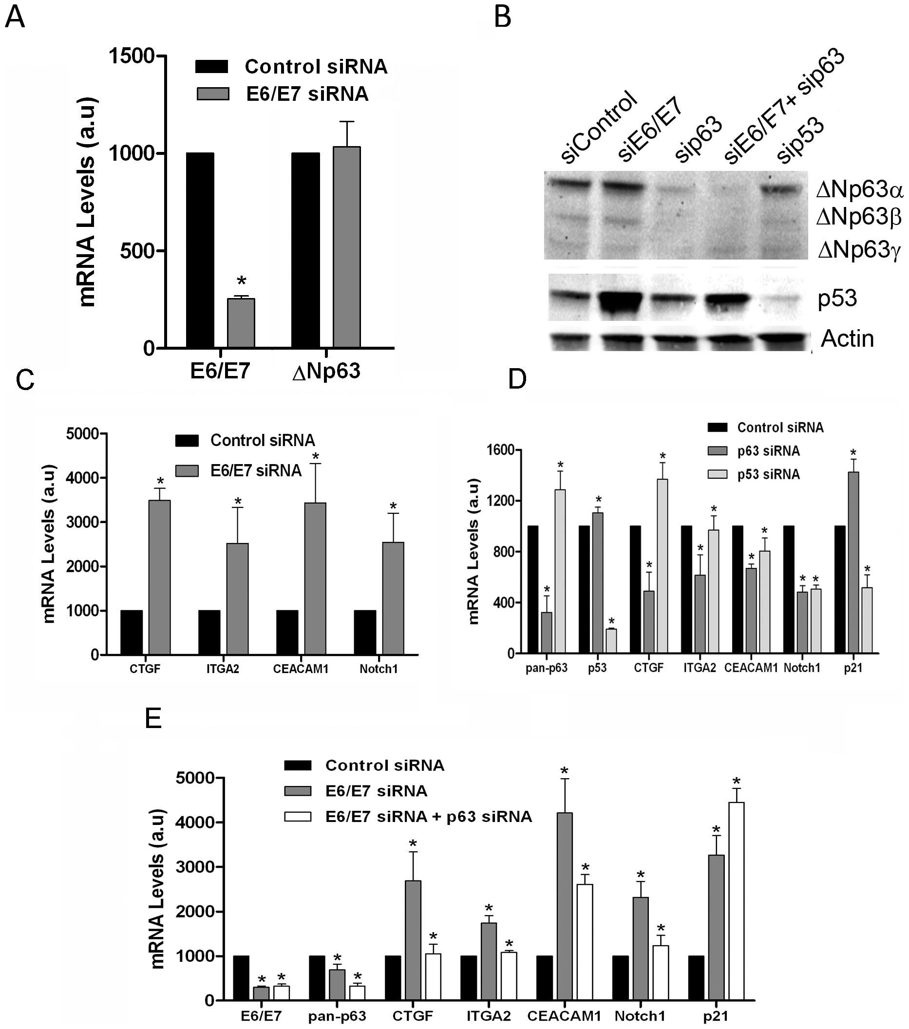 Modulation of a set of adhesion genes in Caski through E6/E7 silencing is dependent on p63.