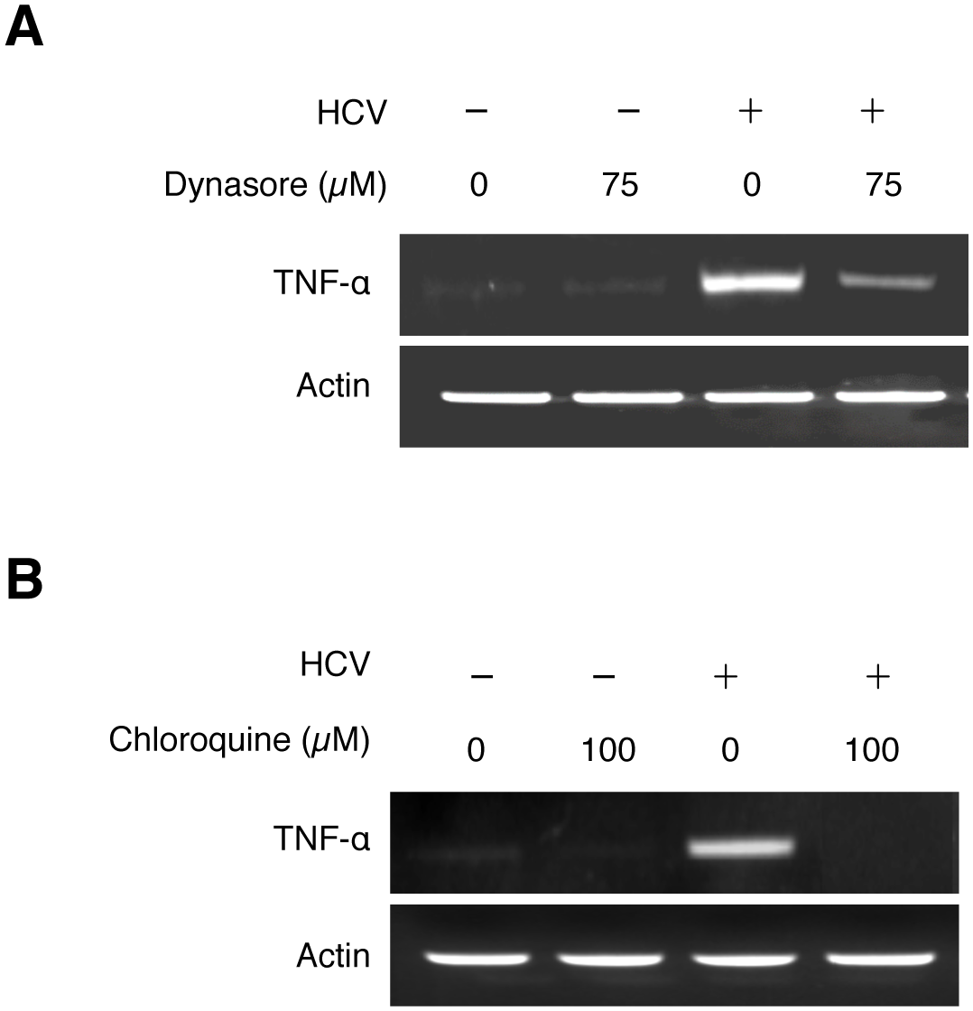 Induction of TNF-α by HCV is dependent on the endocytic pathway.
